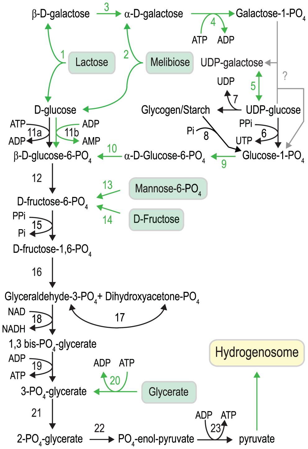 Carbohydrate metabolism in <i>S. salmonicida</i>.