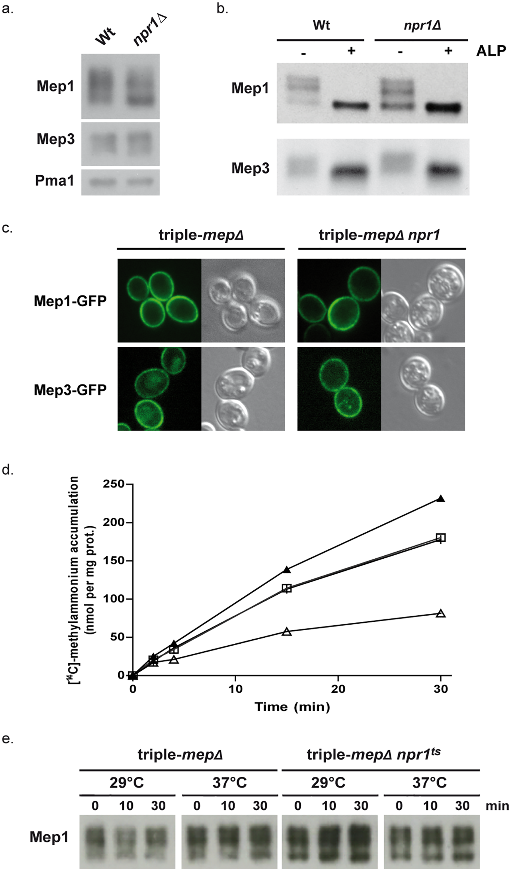 Npr1 is required for Mep1 and Mep3 inherent transport activity.