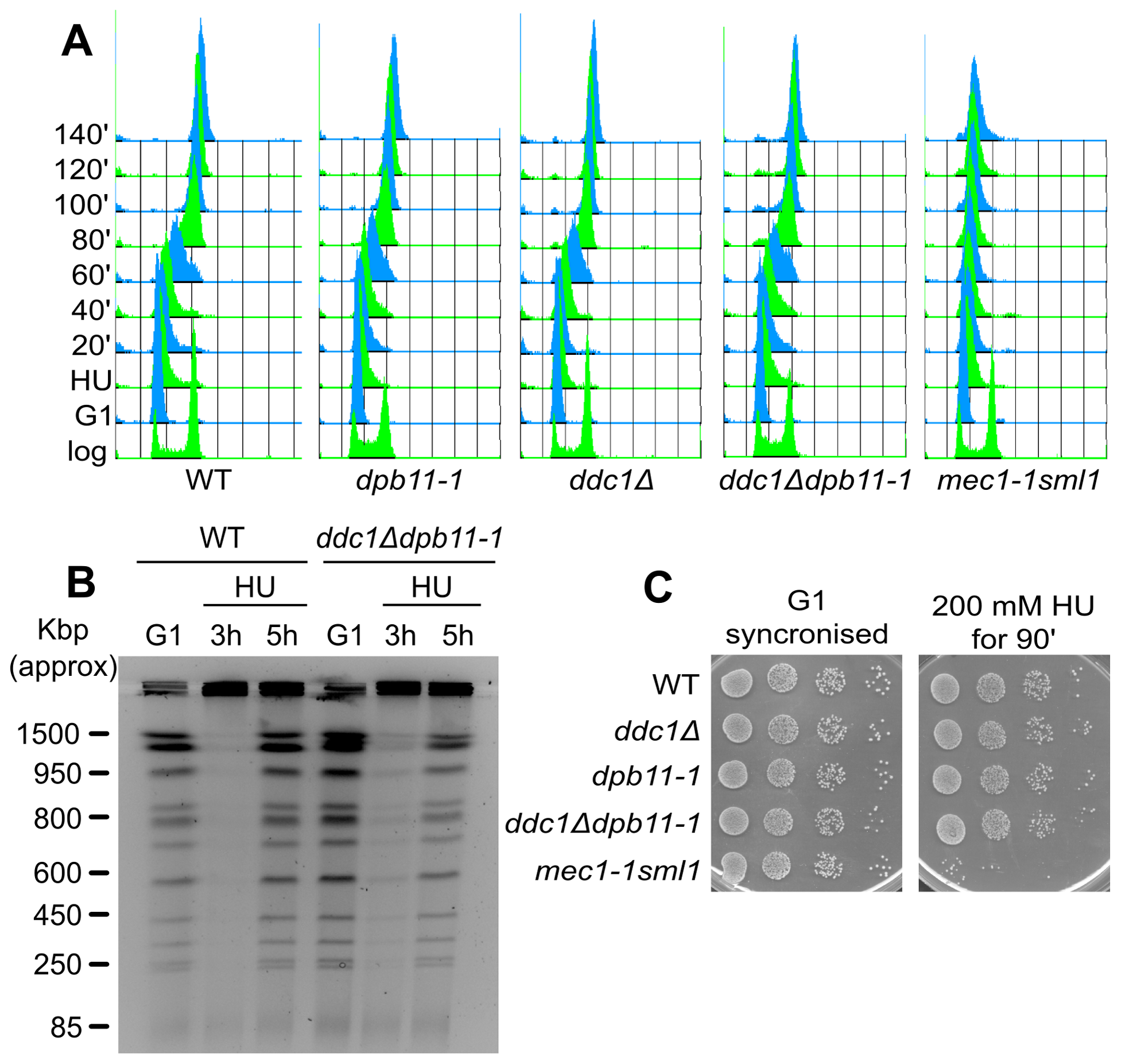 Low levels of Rad53 activity are sufficient to prevent replication fork breakdown.