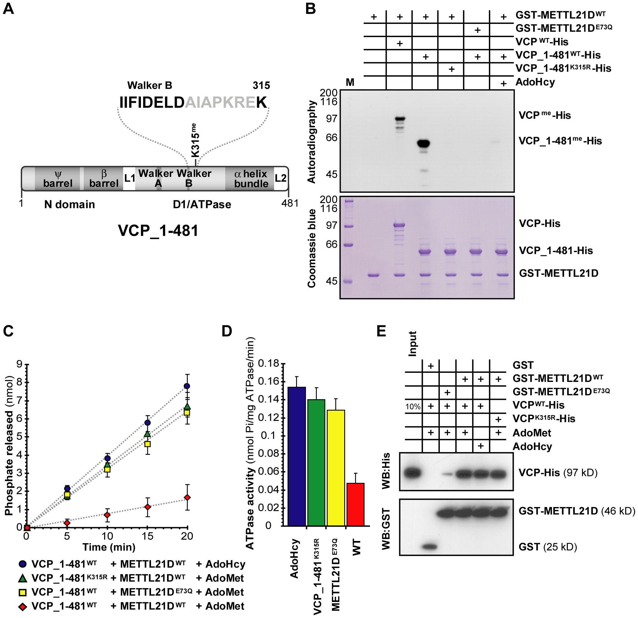 Methylation of VCP decreases the activity of its N-terminal ATPase domain.