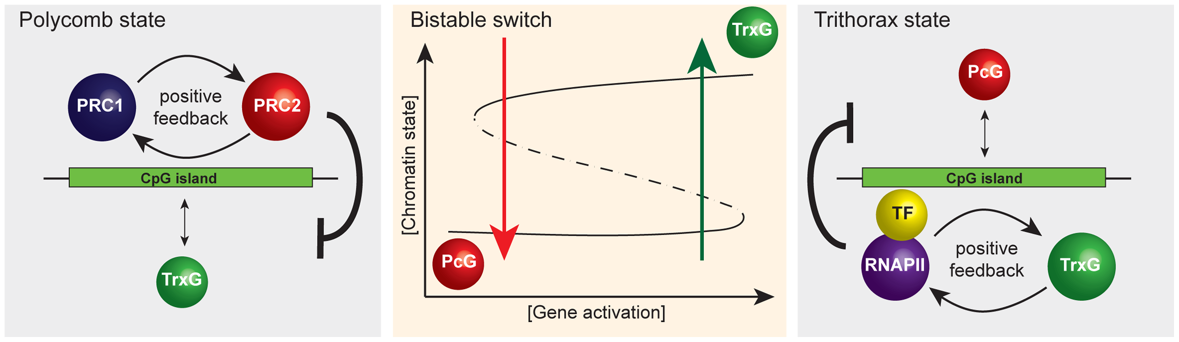 A simplified representation of the responsive model emphasizing that it has properties of a classical bistable switch.