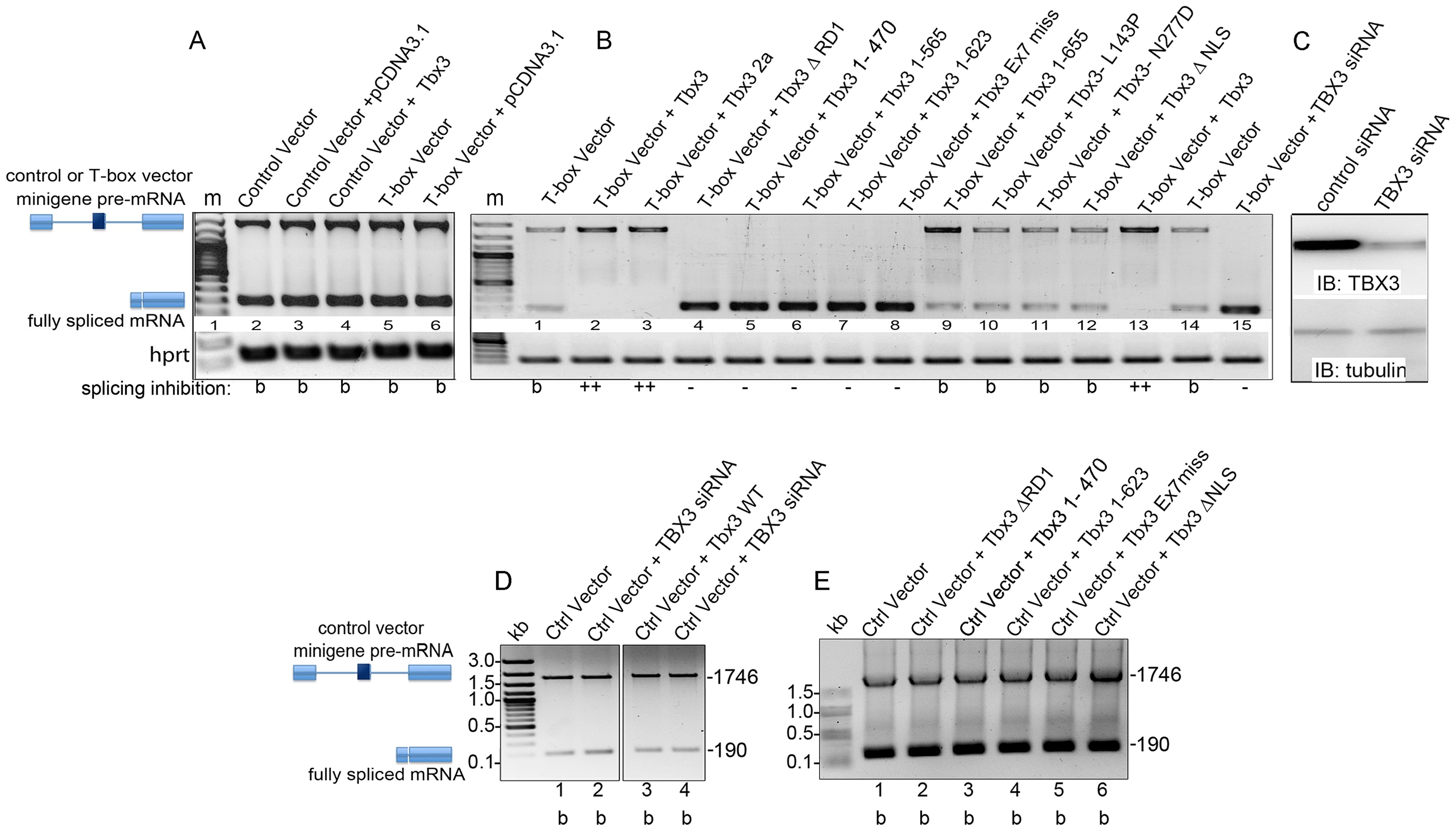 Tbx3 regulates alternative splicing <i>in vitro</i>.