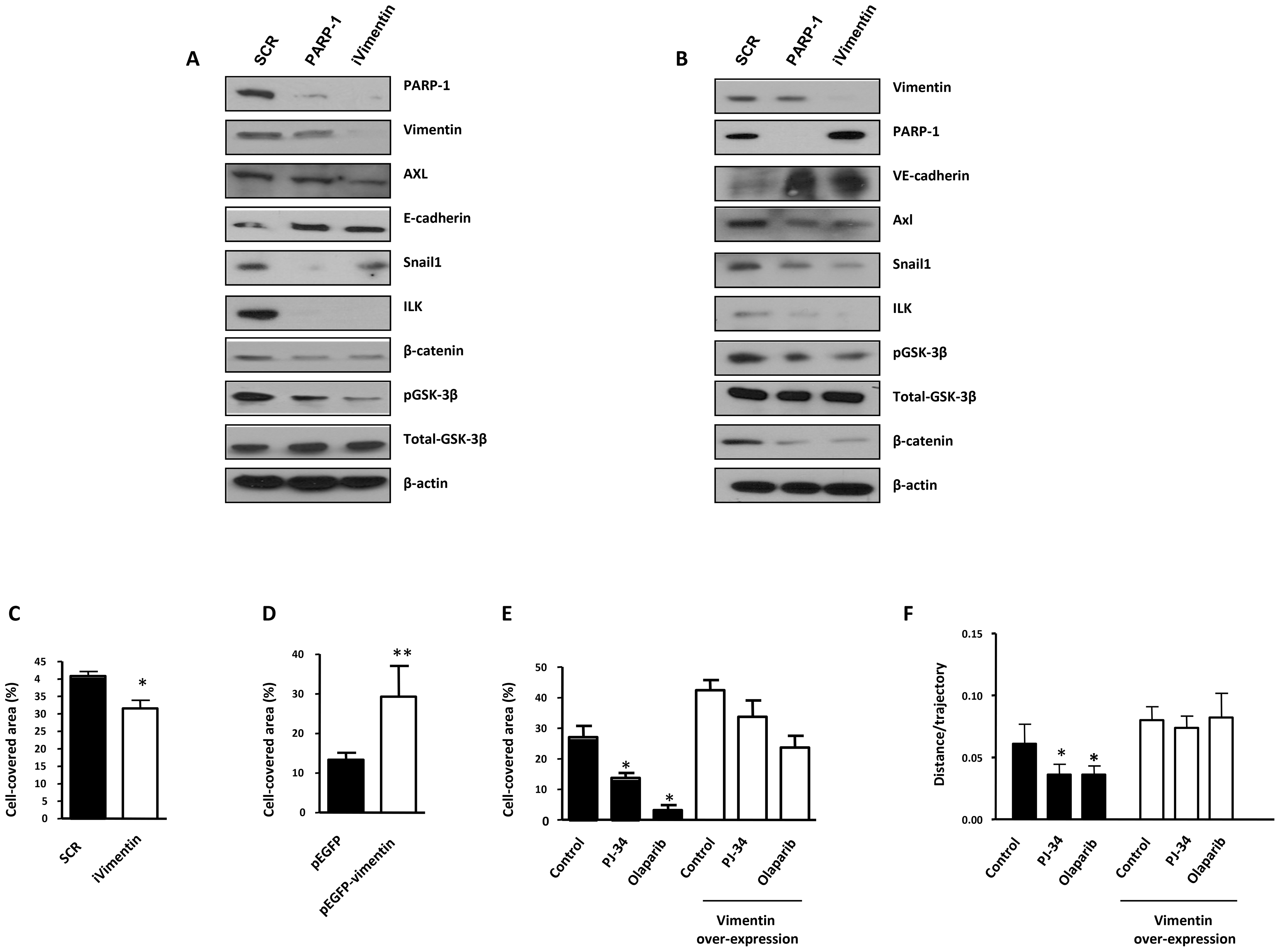 PARP-1 or vimentin is sufficient to reverse EMT and confer increased cell motility.