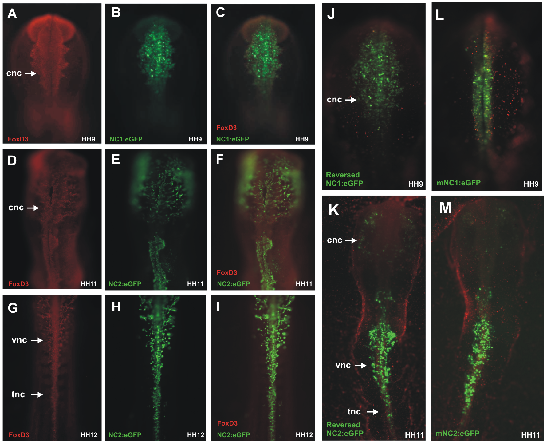 Chick NC1 and NC2 enhancers drive expression that overlaps with endogenous FoxD3 expression, function in reverse orientation, and are conserved with mouse NC1 and NC2.