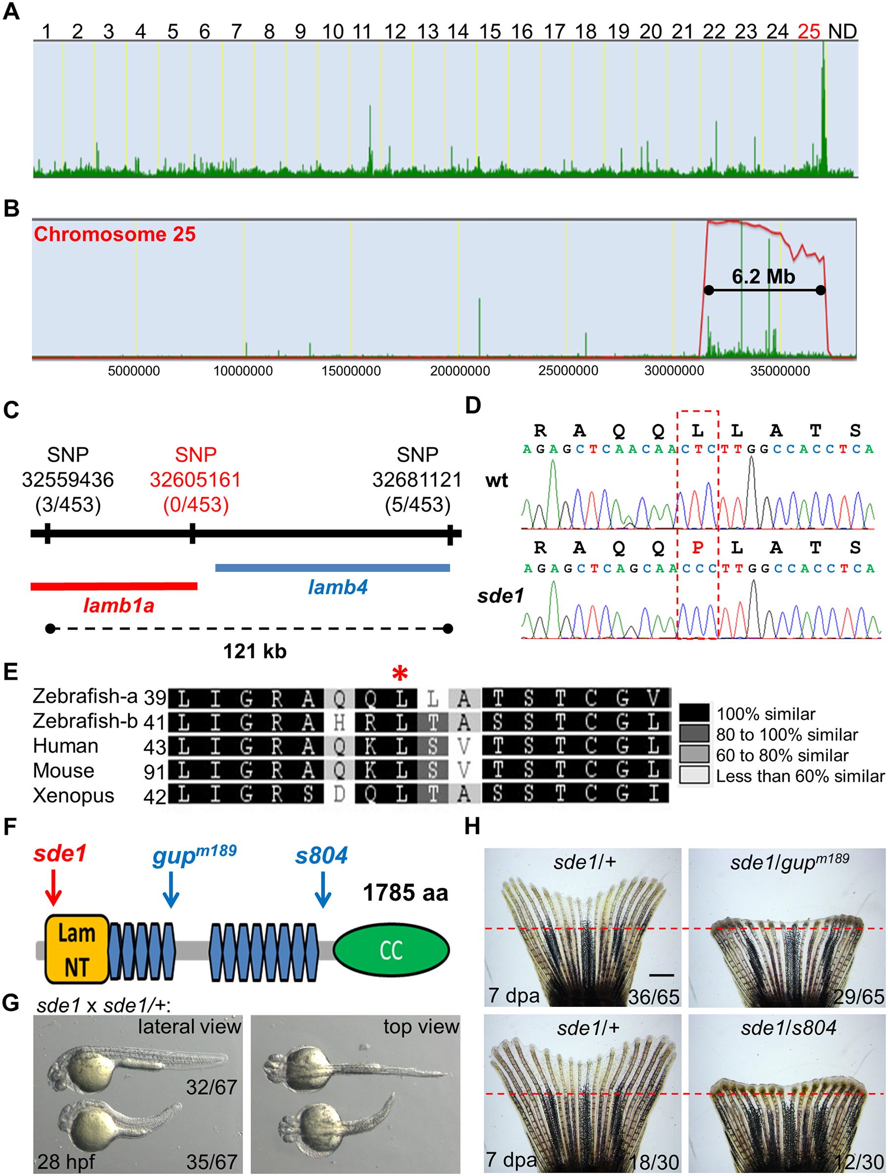 <i>sde1</i> encodes a <i>laminin beta1</i> paralog.