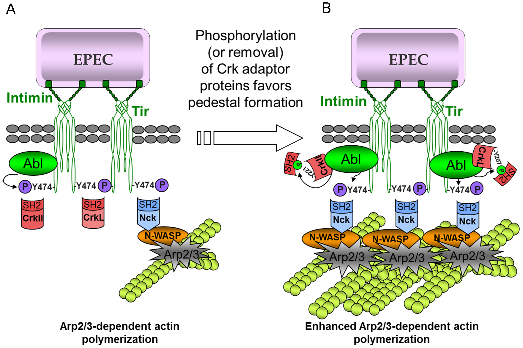 Model of the mechanism of action of Crk adaptor proteins in pedestal formation.