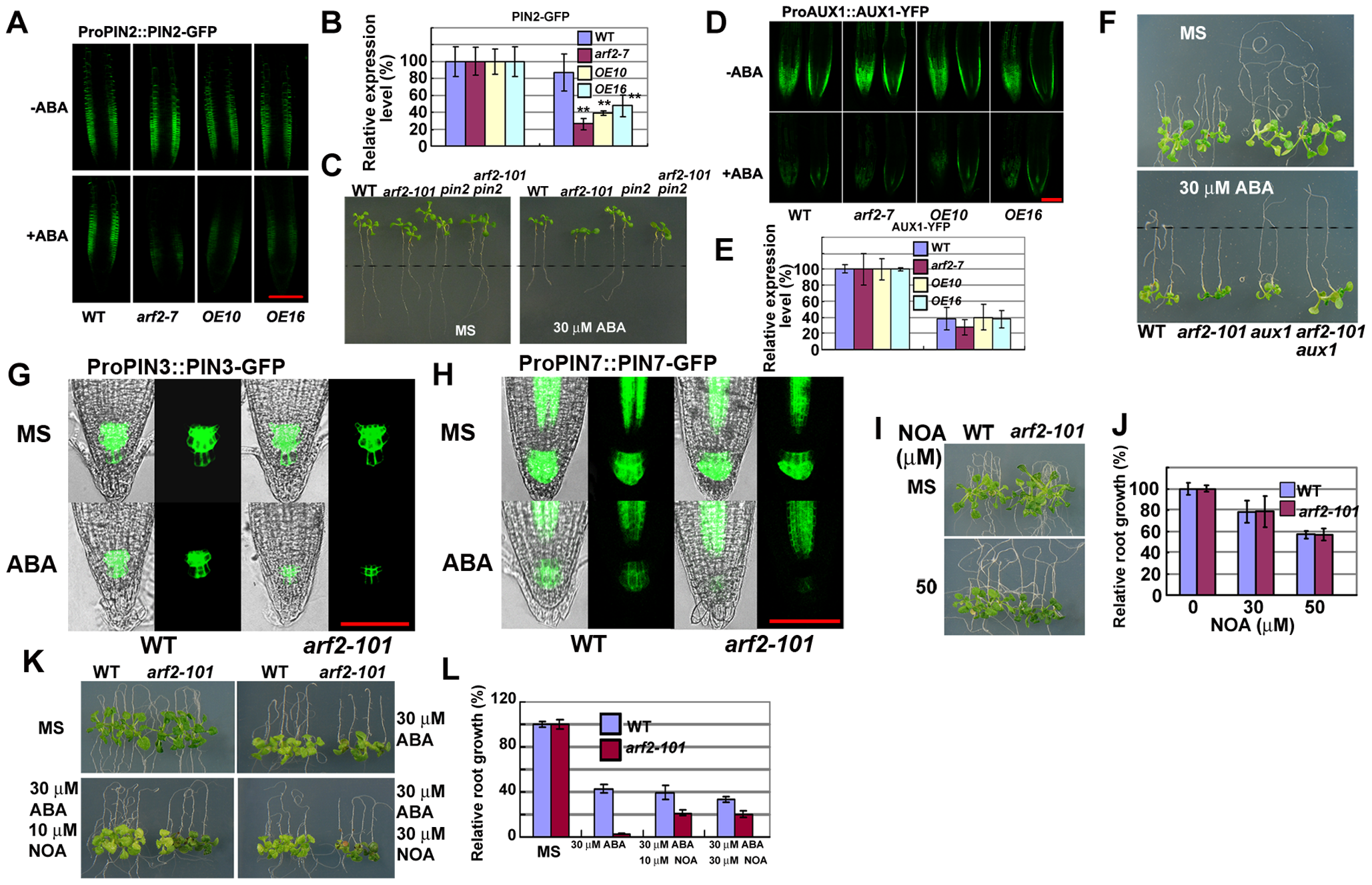 Auxin transport contributes to ABA inhibition of root growth.