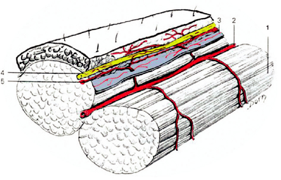 Fig. 1. Blood and nerve supply of the flap