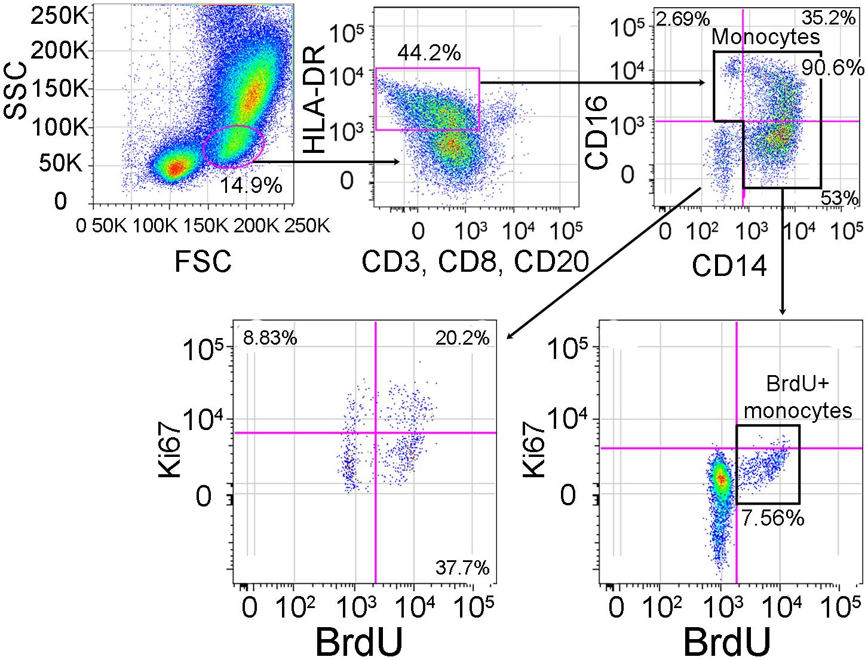 Gating strategy for identifying BrdU+ monocytes.