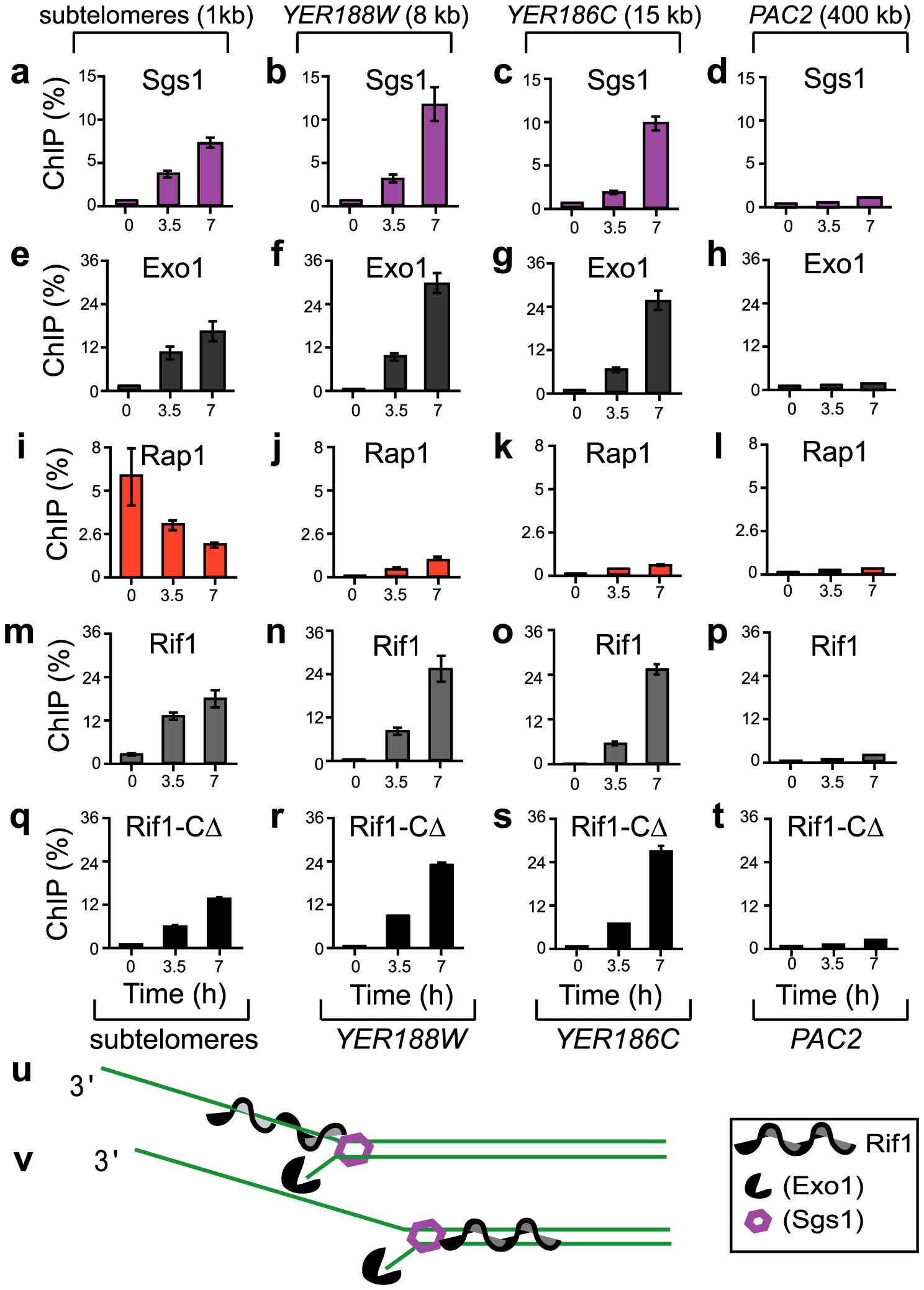 The association of Sgs1, Exo1, Rap1, Rif1, and Rif1-C<i>Δ</i> with different chromosome regions during telomere dysfunction.