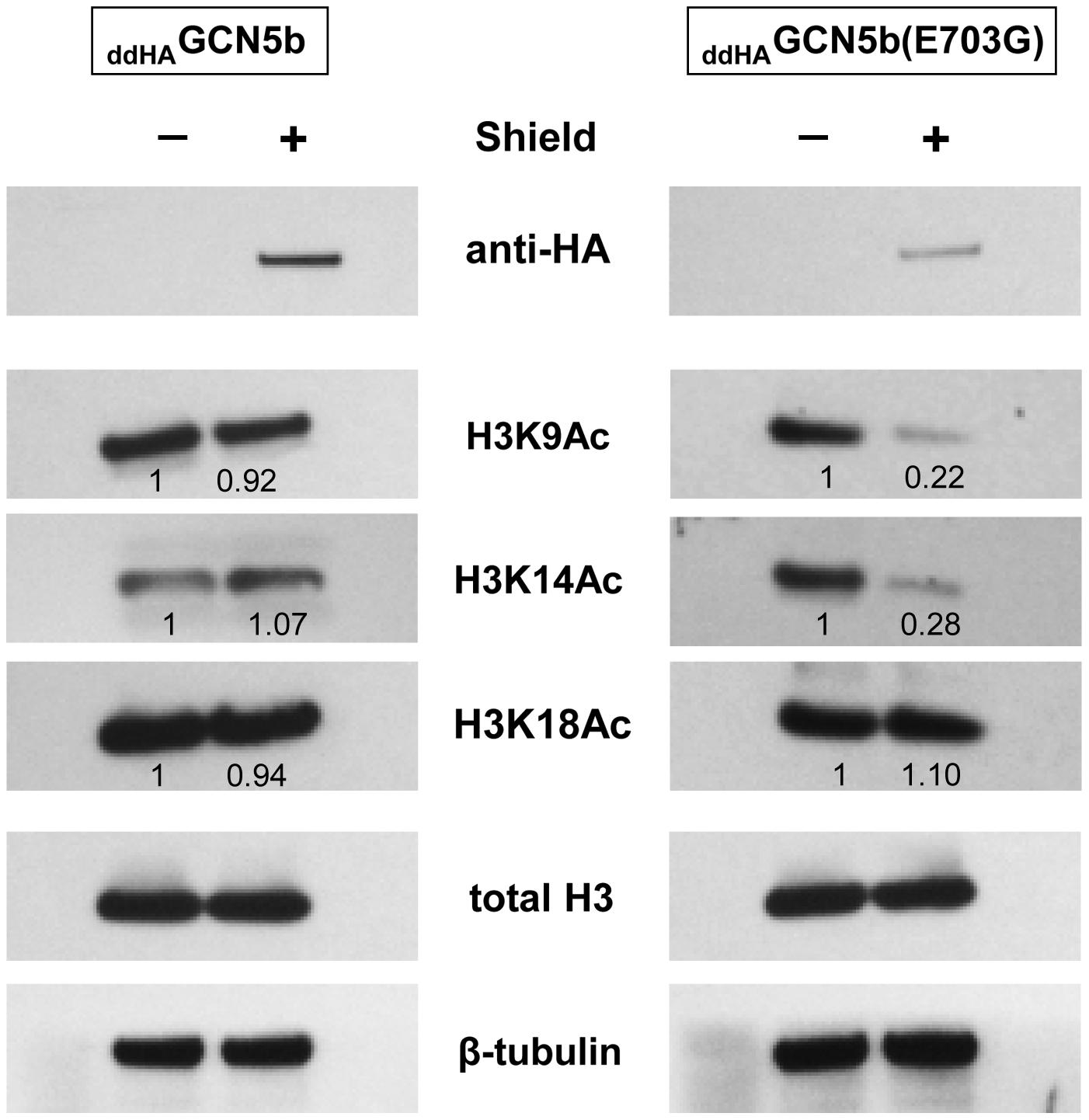 Reduced histone H3 acetylation in <sub>ddHA</sub>GCN5b(E703G) parasites.