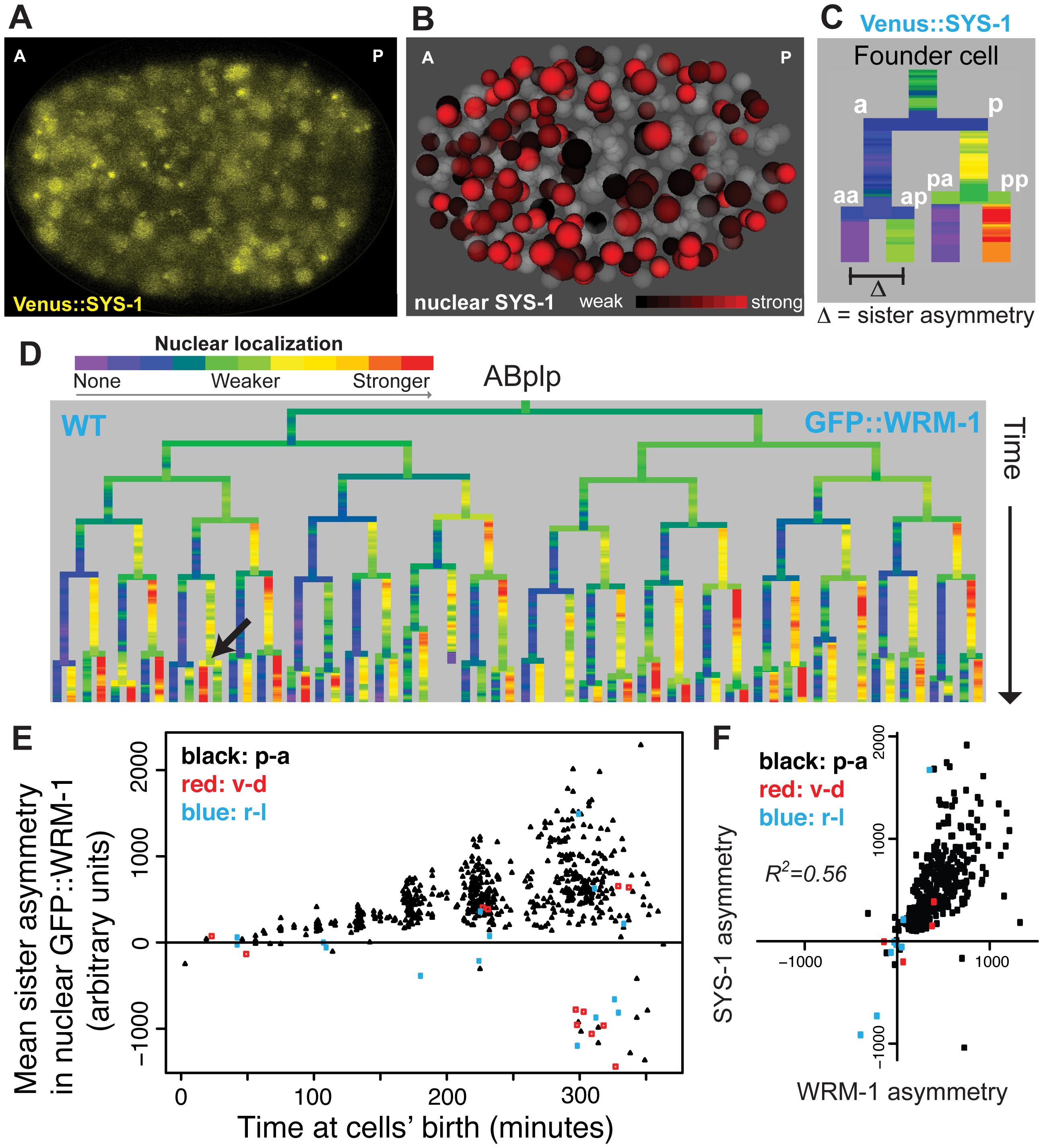 Nuclear localization of β-catenins is asymmetric across most embryonic cells.