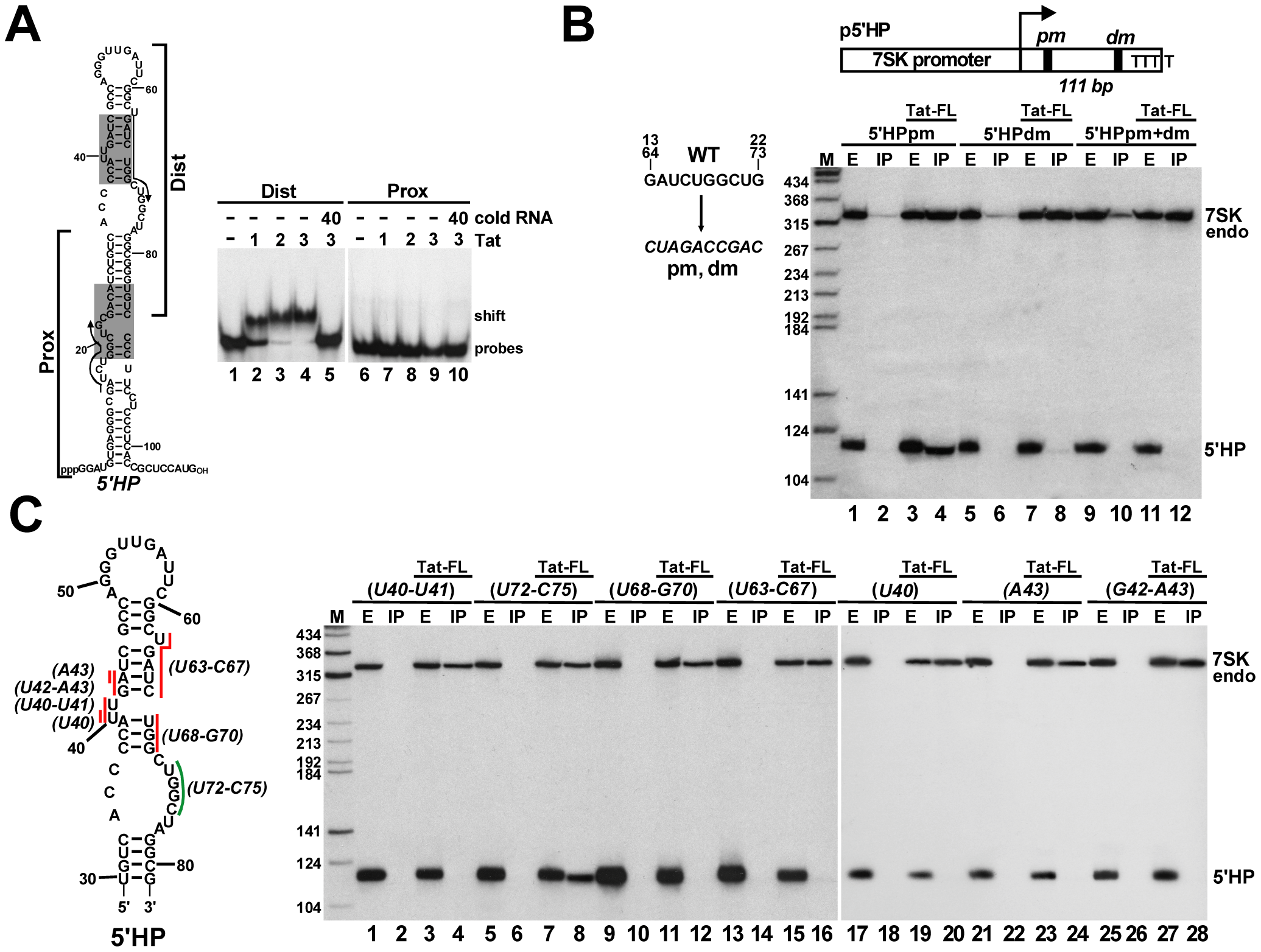 Characterization of the Tat-binding element of human 7SK snRNA.