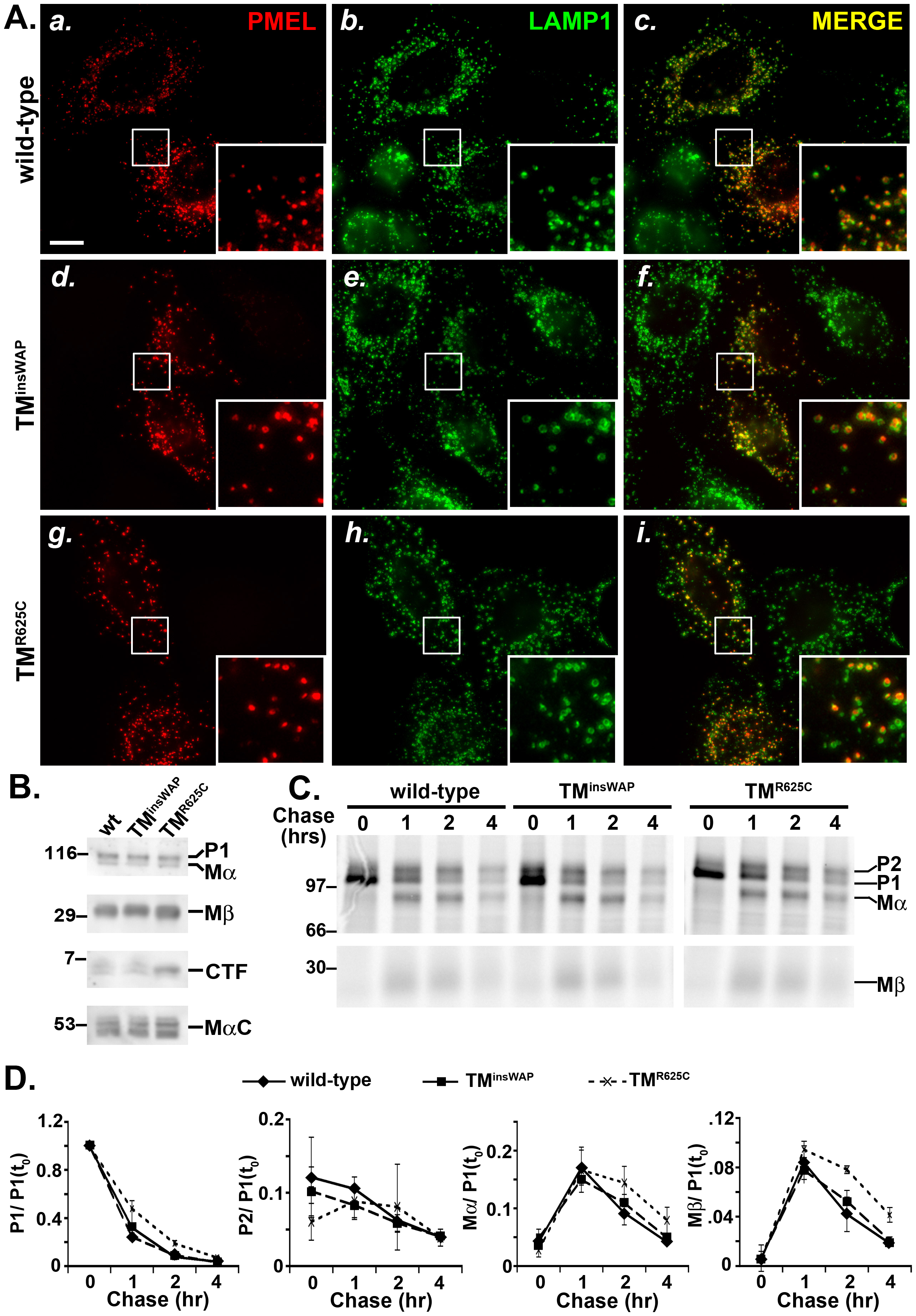 TMD mutations do not affect PMEL trafficking, maturation, or processing.