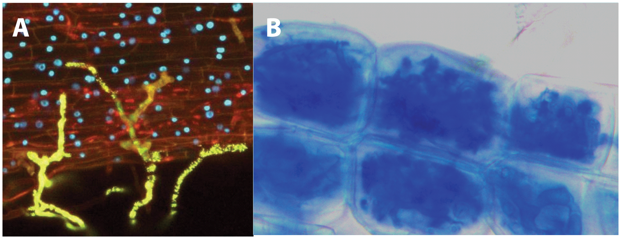 Establishment of the mycorrhizal symbiosis.