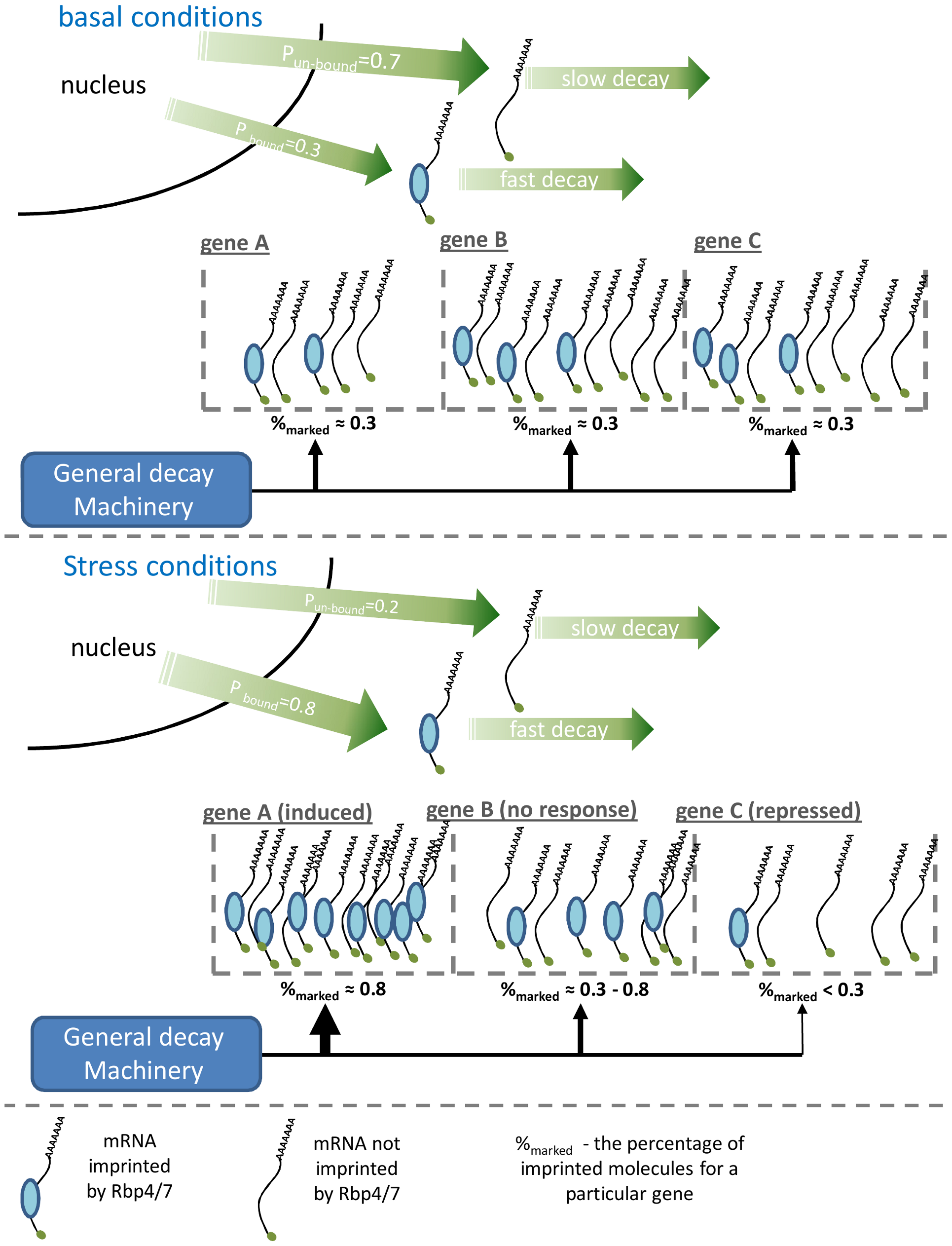 A schematic illustration of the suggested model explaining the genome-wide effect of Rpb4/7.