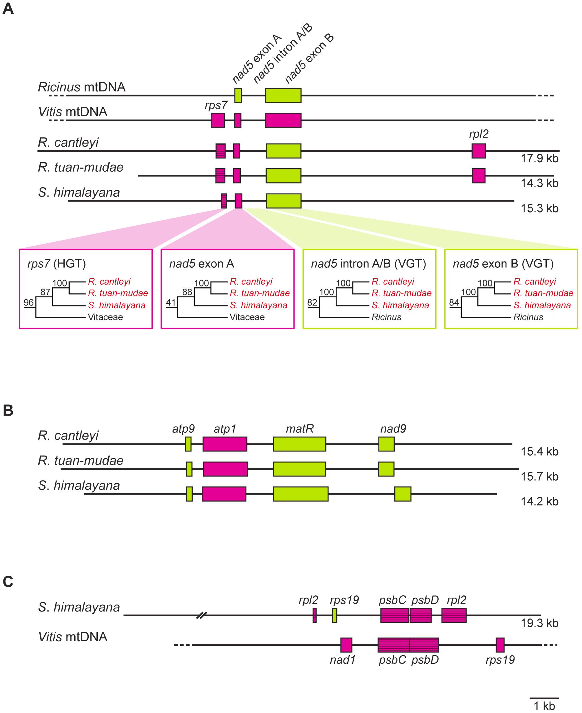 Gene organization of three assembled contigs for Rafflesiaceae (<i>Rafflesia cantleyi</i>, <i>Rafflesia tuan-mudae</i>, and <i>Sapria himalayana</i>), <i>Ricinus communis</i> (Euphorbiaceae), and <i>Vitis vinifera</i> (Vitaceae).