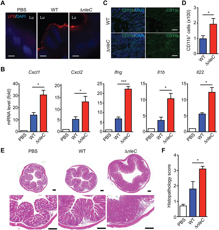 NleC suppresses inflammatory responses in <i>C</i>. <i>rodentium</i>-infected mice.