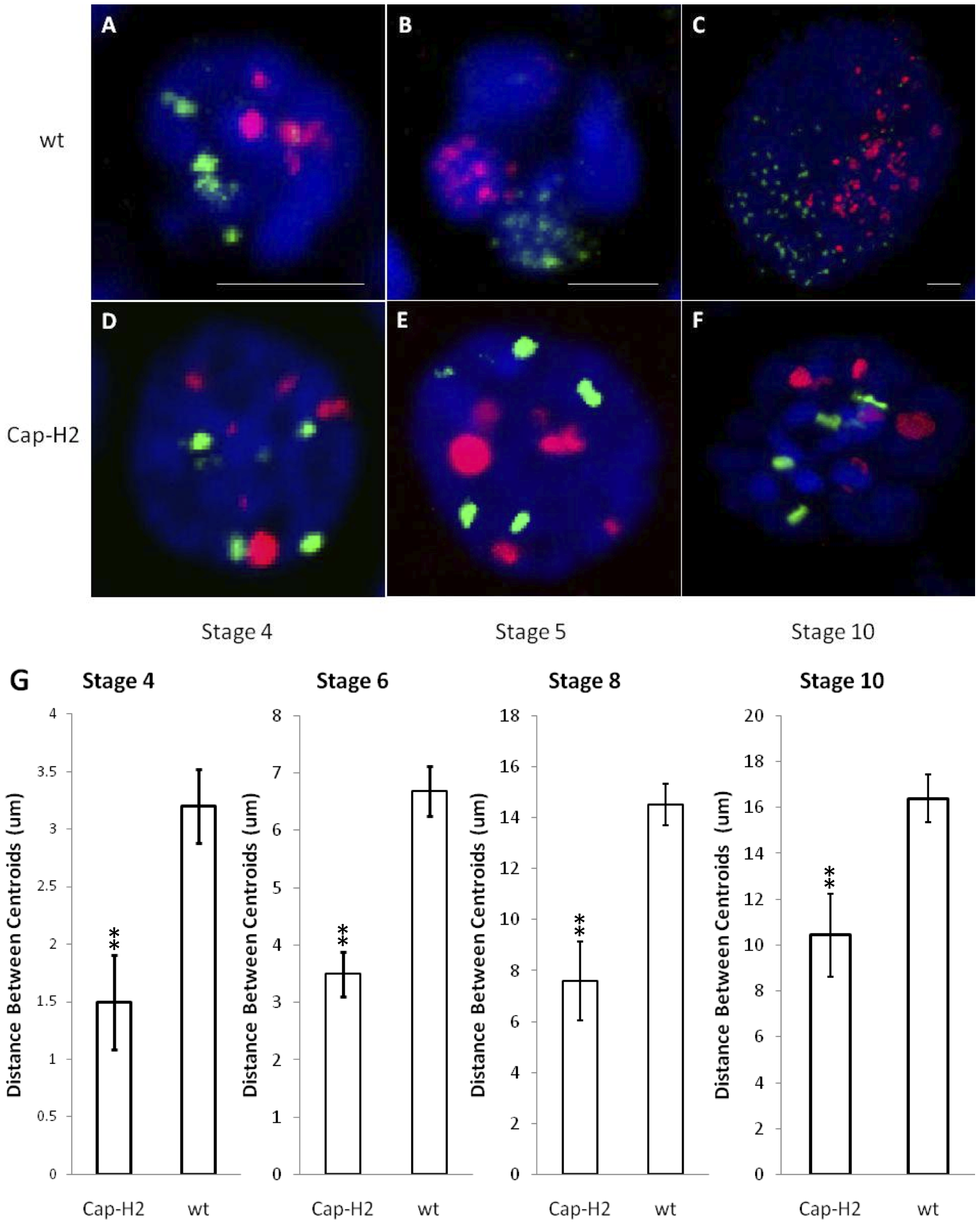 The formation of compact chromosome territories is Condensin II dependent.