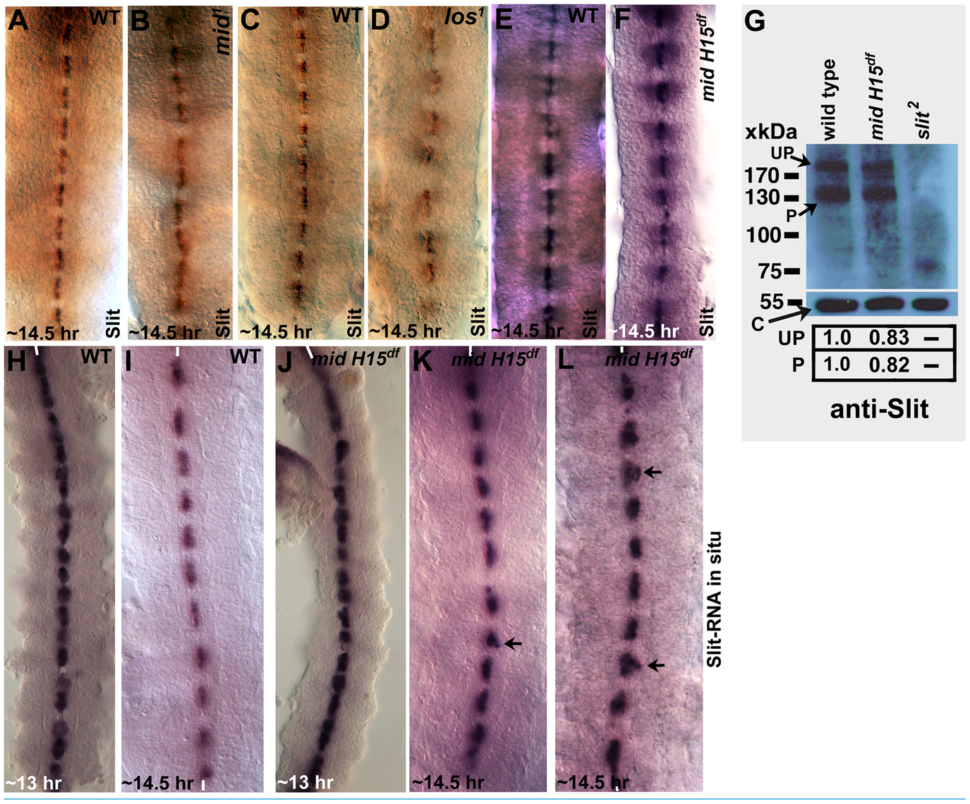 Expression of Slit protein and <i>slit</i> transcription in different <i>mid</i> mutants.