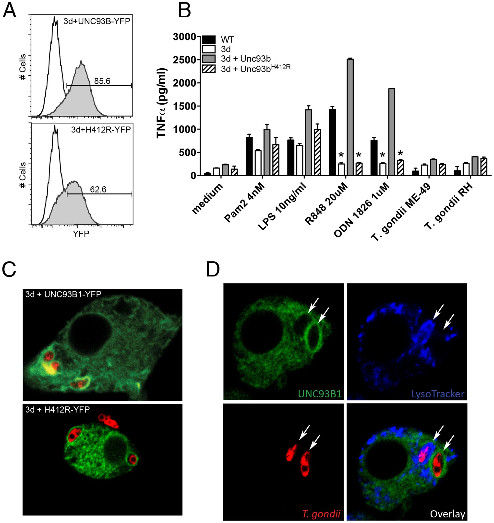 UNC93B1 accumulates around <i>T. gondii</i> parasitophorous vacuole.