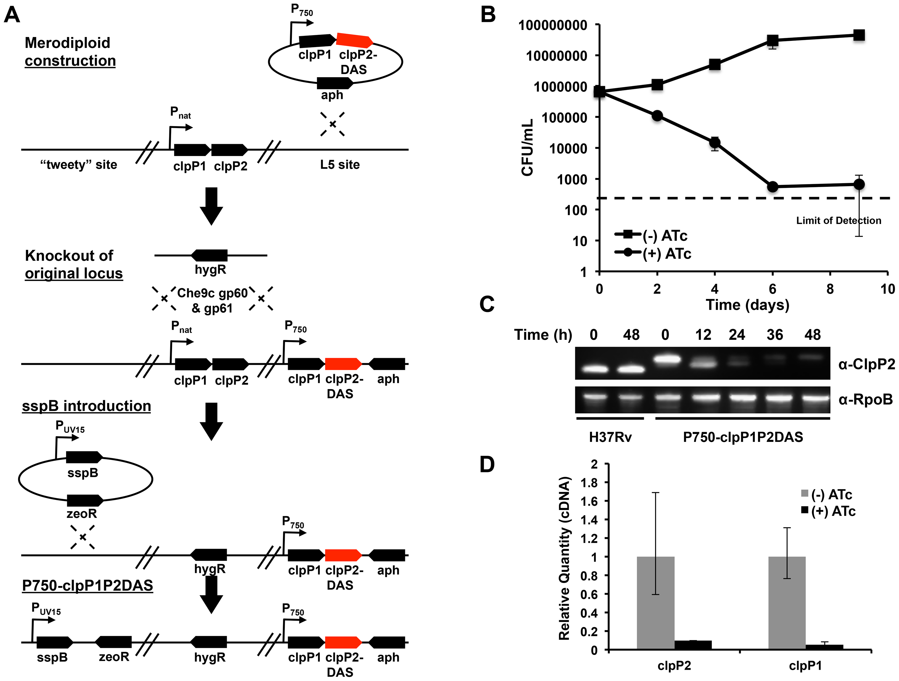 Clp protease is required for normal growth in <i>Mycobacterium tuberculosis</i>.