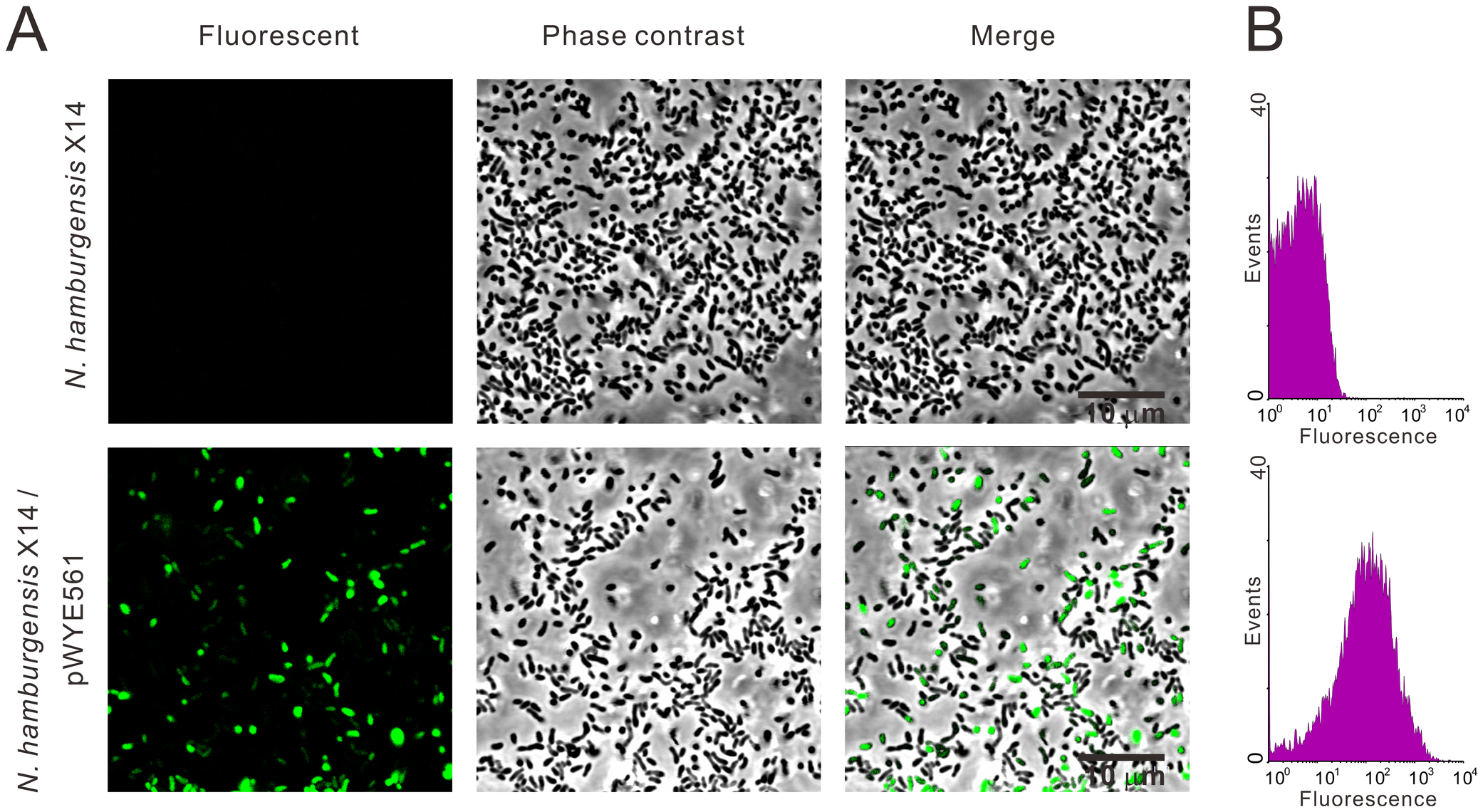 Expression of GFP in <i>N. hamburgensis</i> X14.