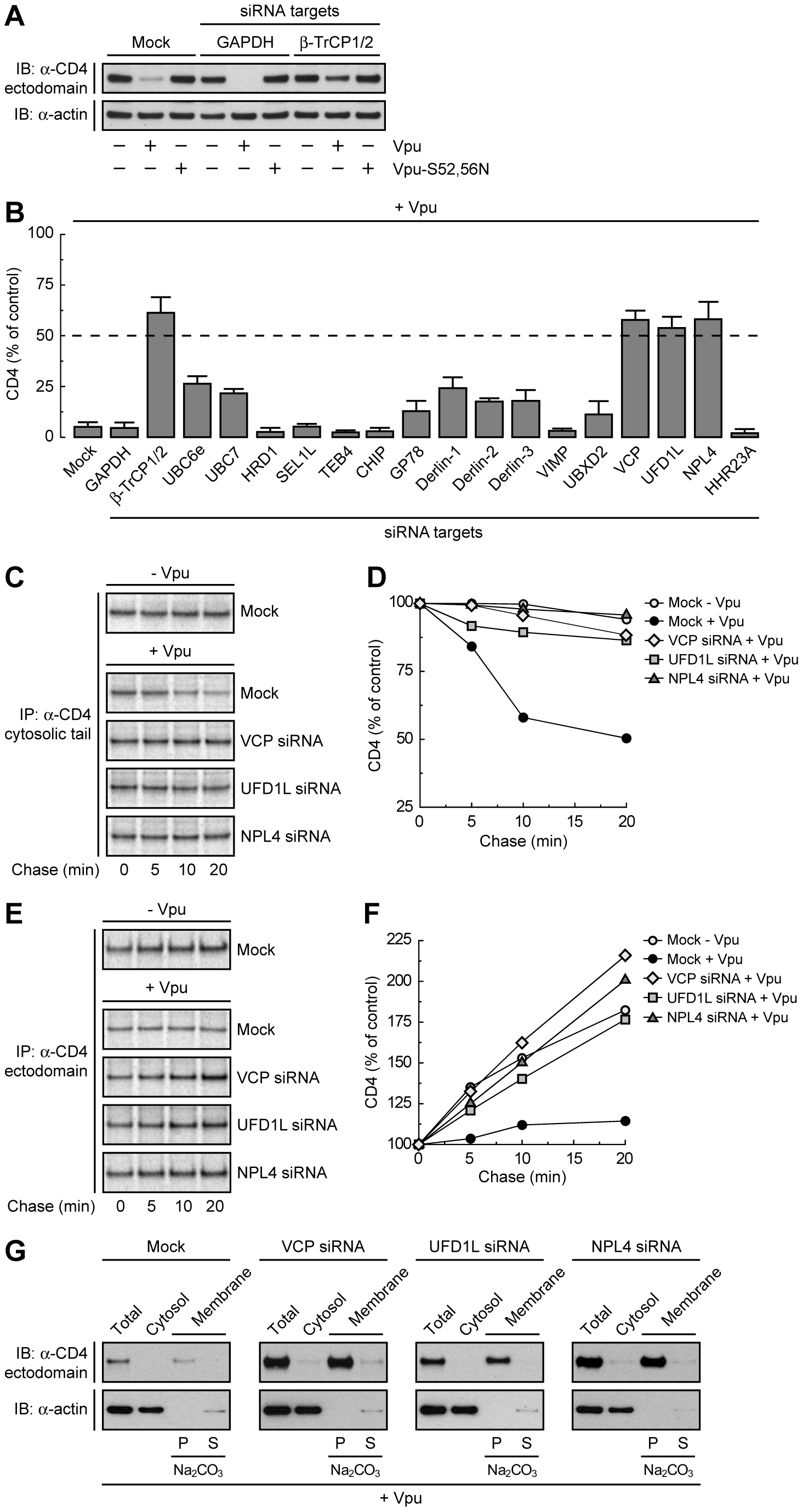 The VCP-UFD1L-NPL4 complex mediates Vpu-dependent CD4 degradation.