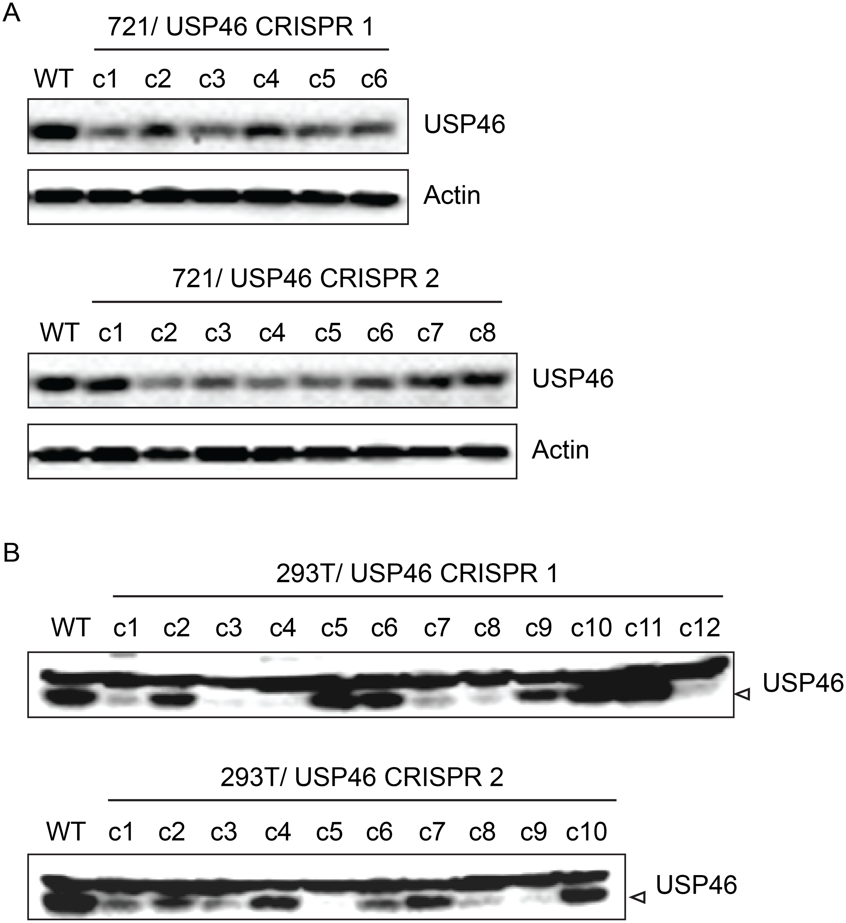 Inability to derive USP46 null LCLs using CRISPR/ Cas9 mediated gene editing.