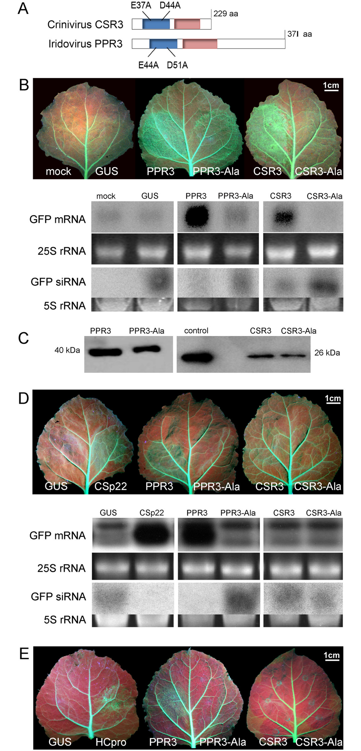 Class 1 RNaseIII endoribonucleases of PPIV (PPR3) and SPCSV (CSR3) suppress RNAi in leaves of <i>Nicotiana benthamiana</i>.