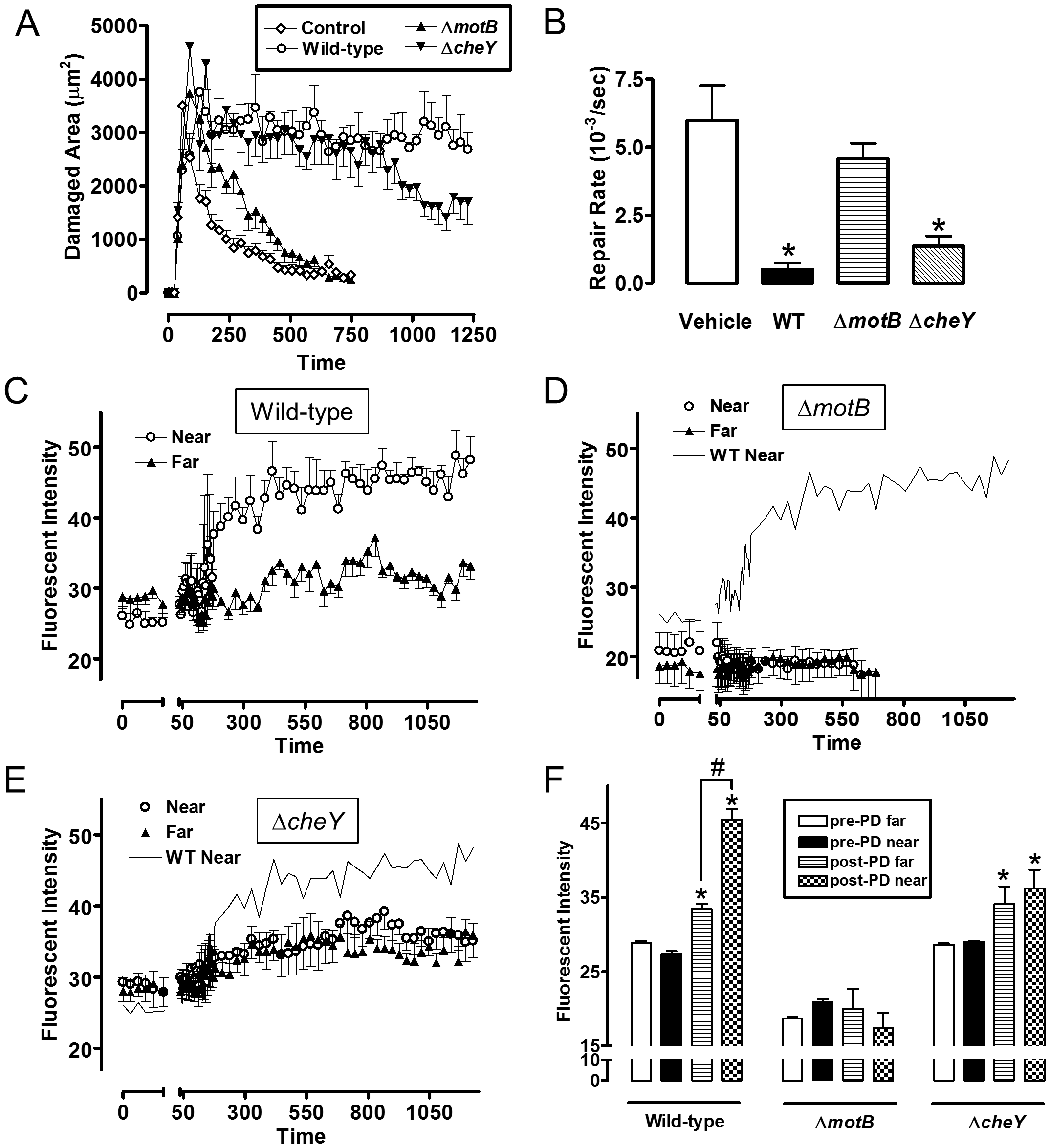 Quantifying effect of <i>H. pylori</i> on gastric epithelial repair after microscopic damage, and the localization of <i>H. pylori</i> during repair.