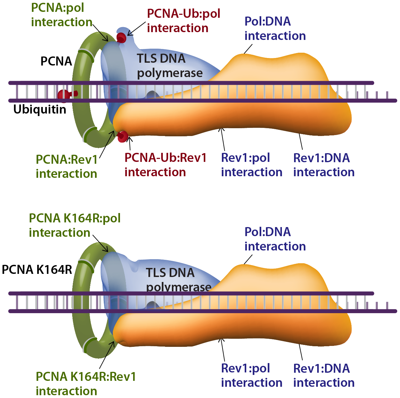 Model describing interactions that stabilize a TLS DNA polymerase during lesion bypass.