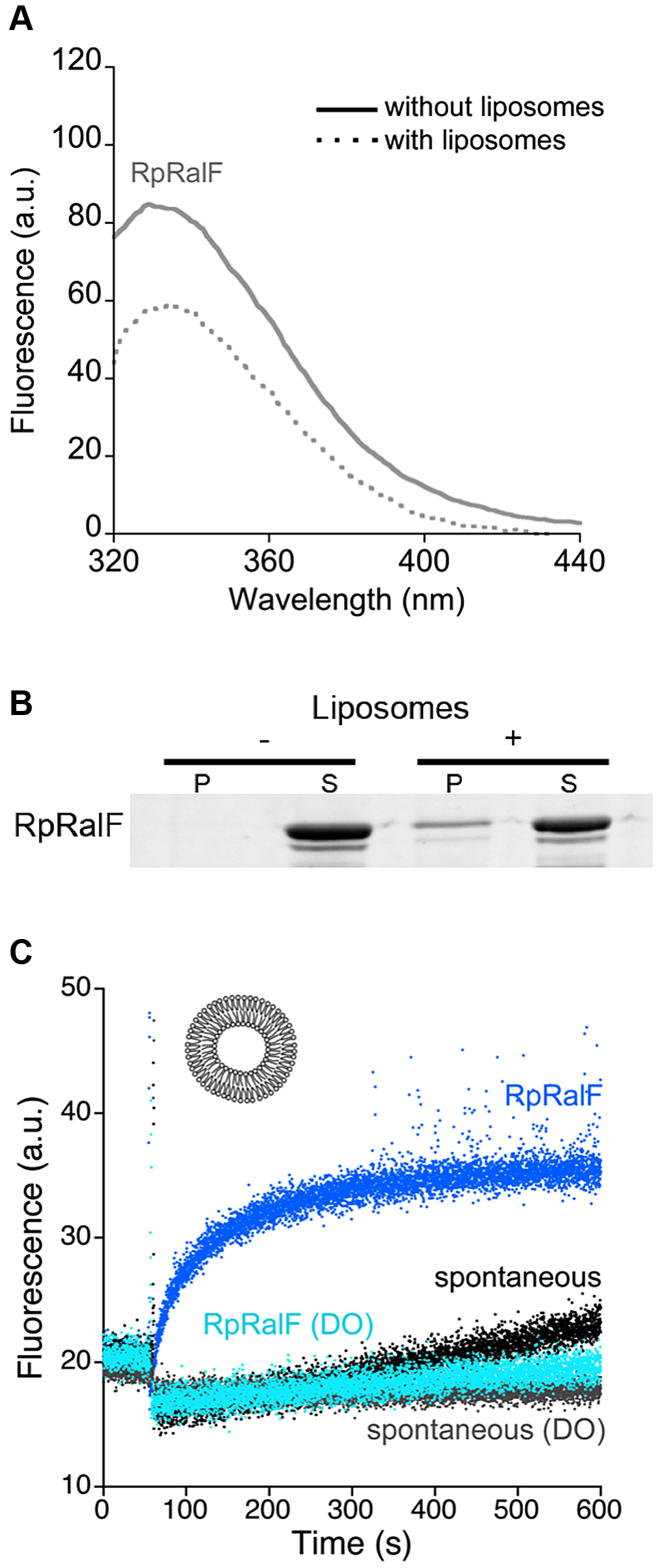 <i>Rickettsia prowazekii</i> RalF is activated by membranes. A. Interaction of RpRalF with liposomes analyzed by tryptophan fluorescence.