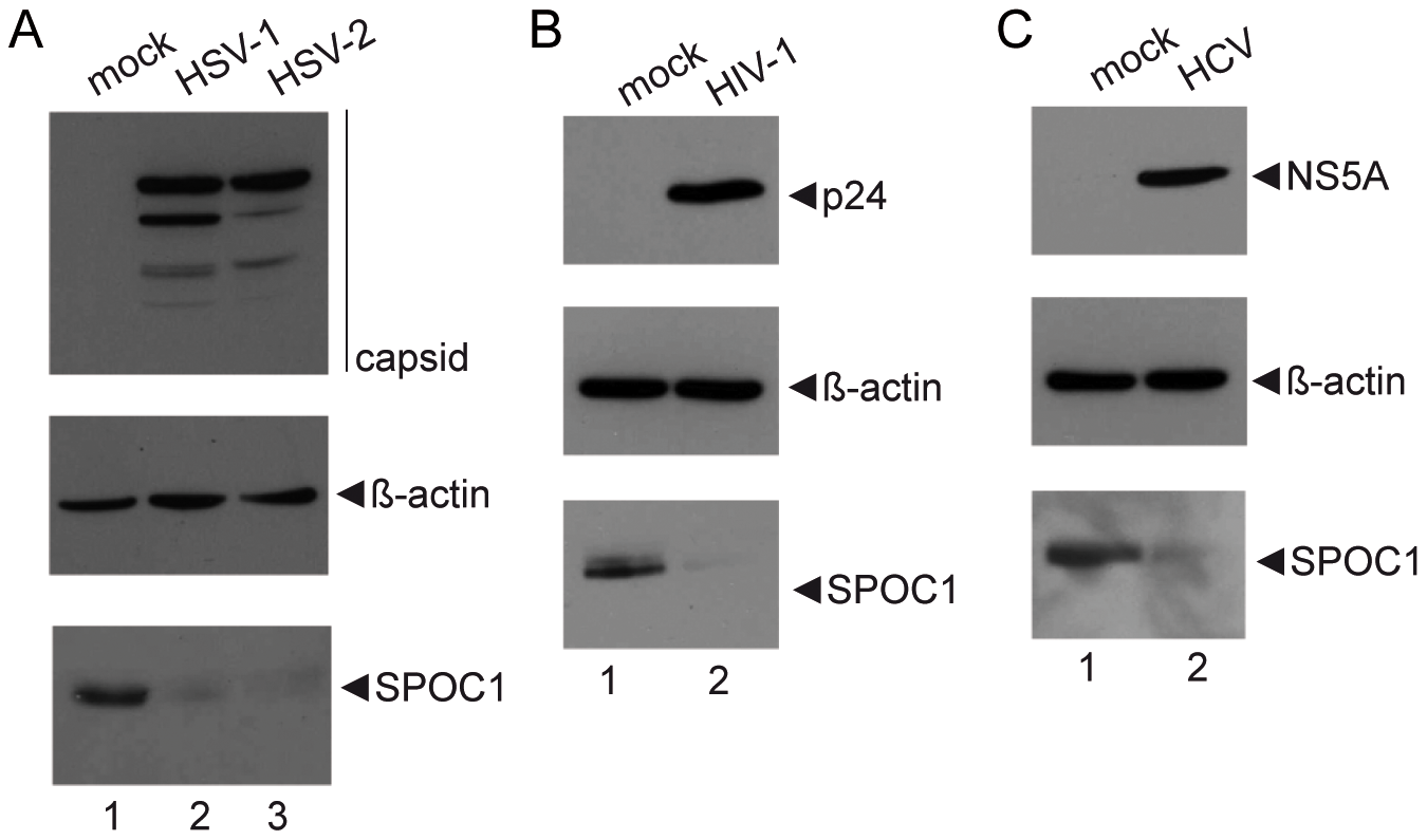 SPOC1 is efficiently reduced during HSV-1, HSV-2, HIV-1 and HCV infection.