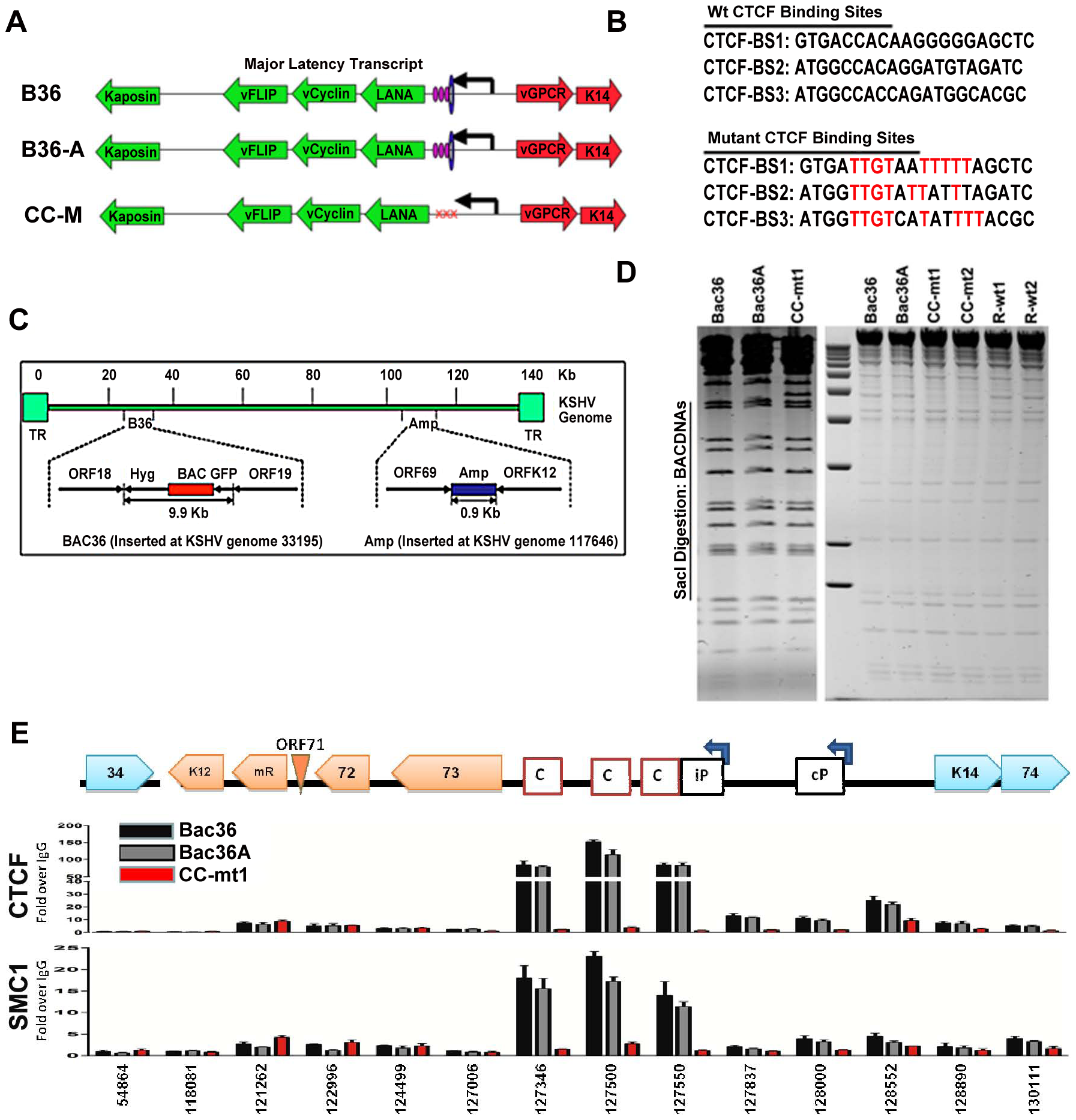 Construction of a KSHV bacmid genome lacking CTCF-cohesin binding sites in the latency control region.