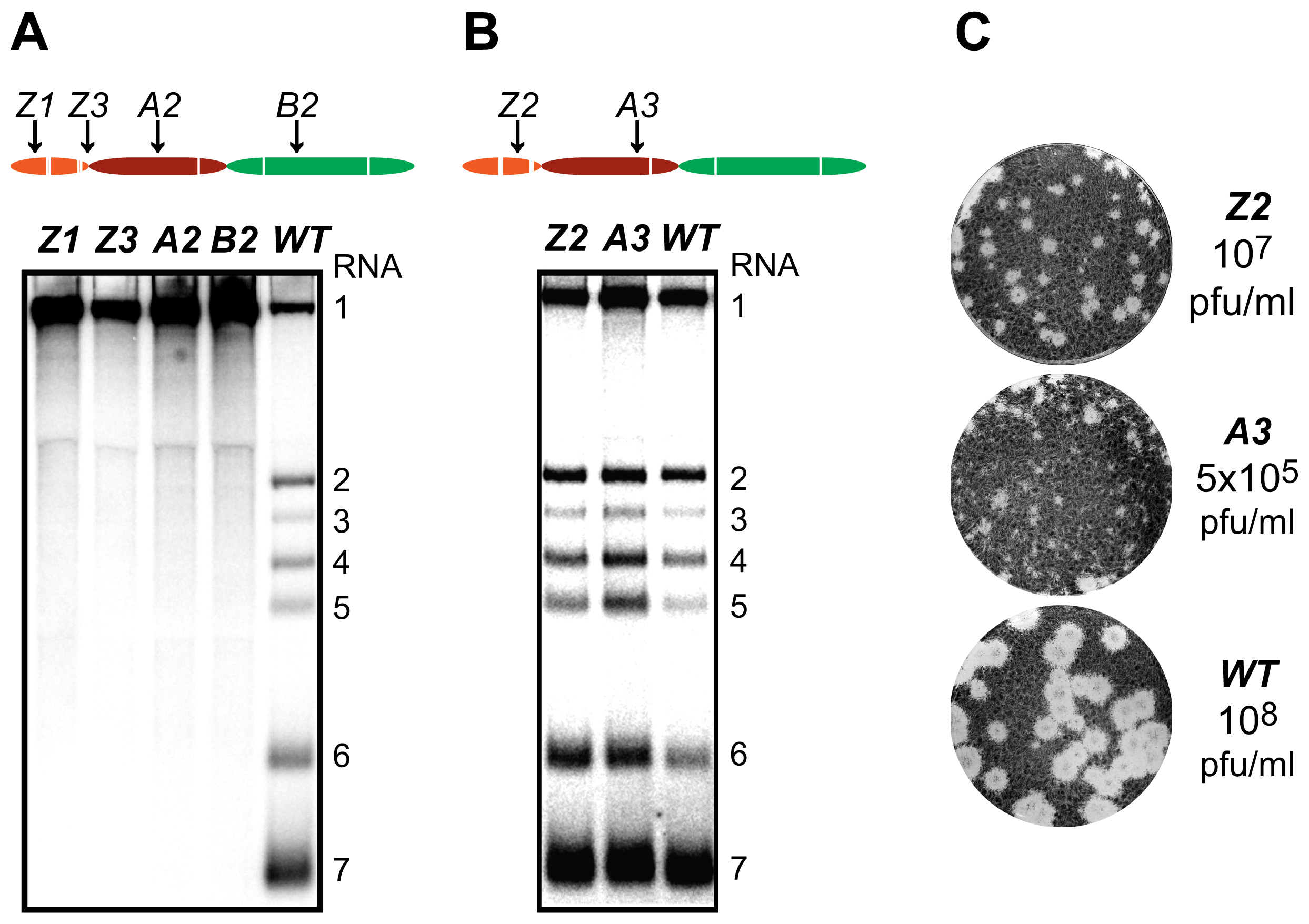 Importance of nsp1 subdomains for transcription and virus production.