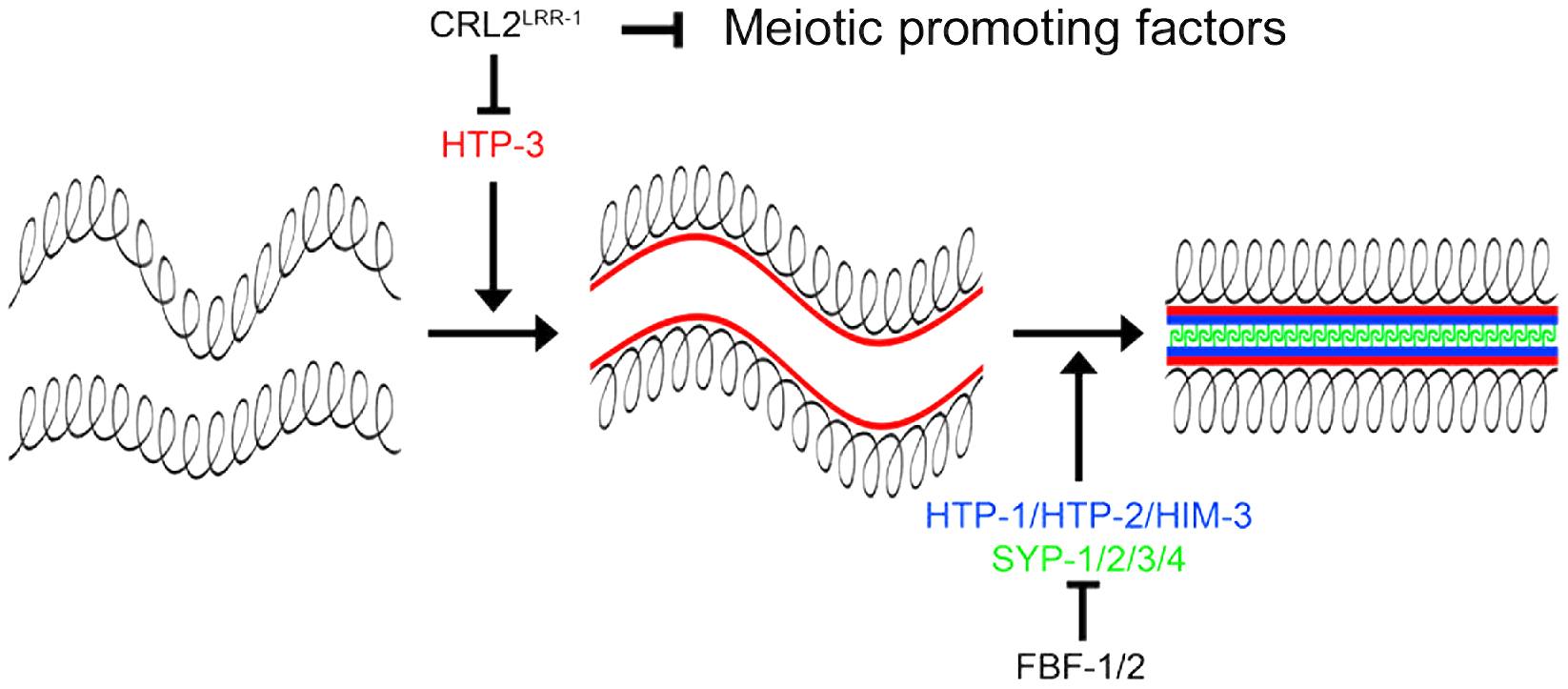 CRL2<sup>LRR-1</sup> regulates entry into meiosis.
