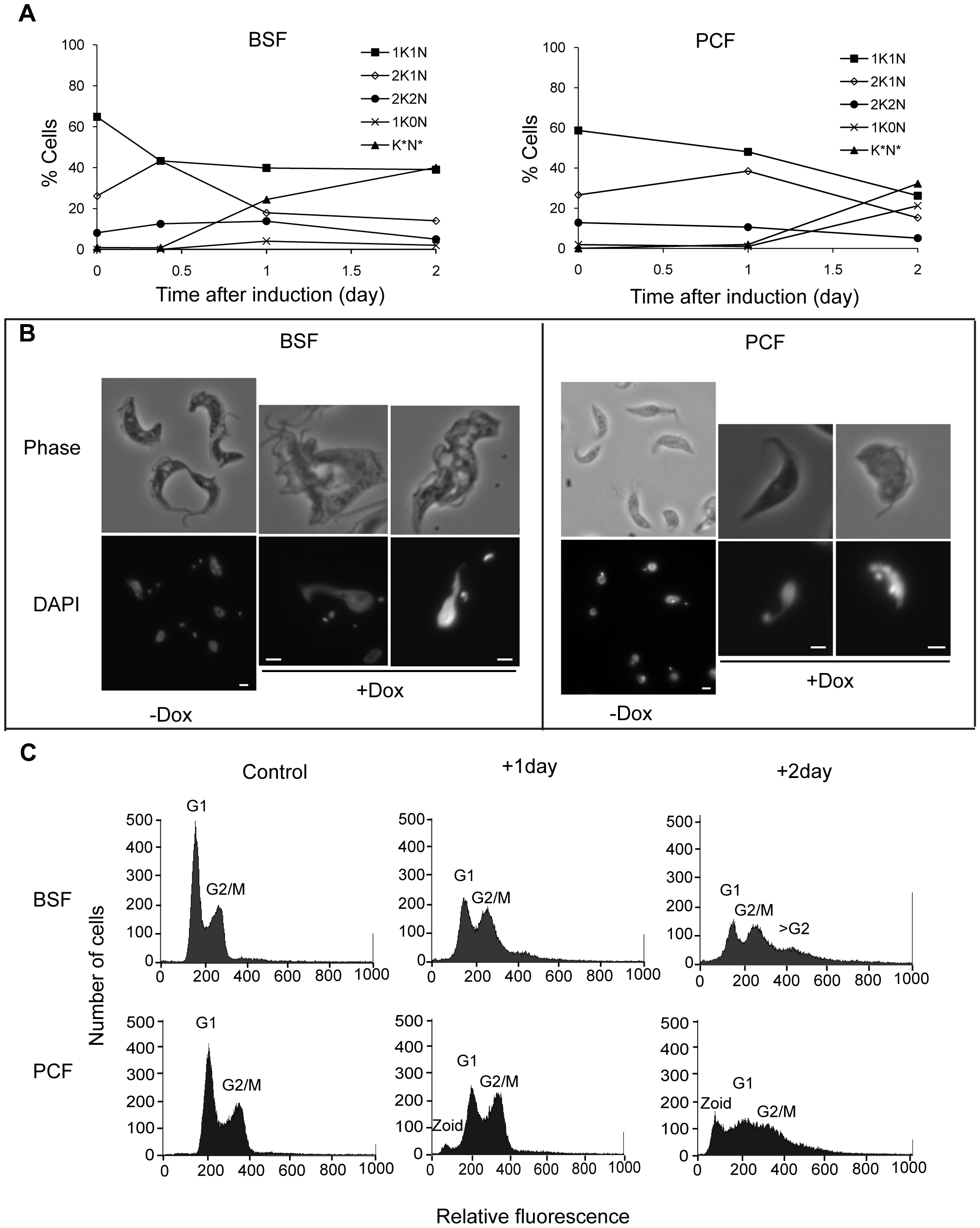Depletion of TbKif13-1 results in abnormal nucleus and kinetoplast numbers.