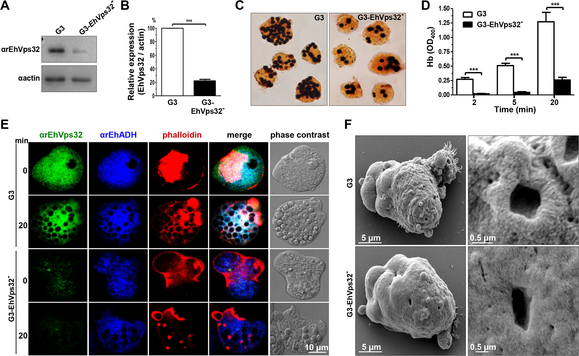 Detection and localization of EhVps32 and erythrophagocytosis rate of <i>EhVps32</i>-silenced G3 trophozoites.