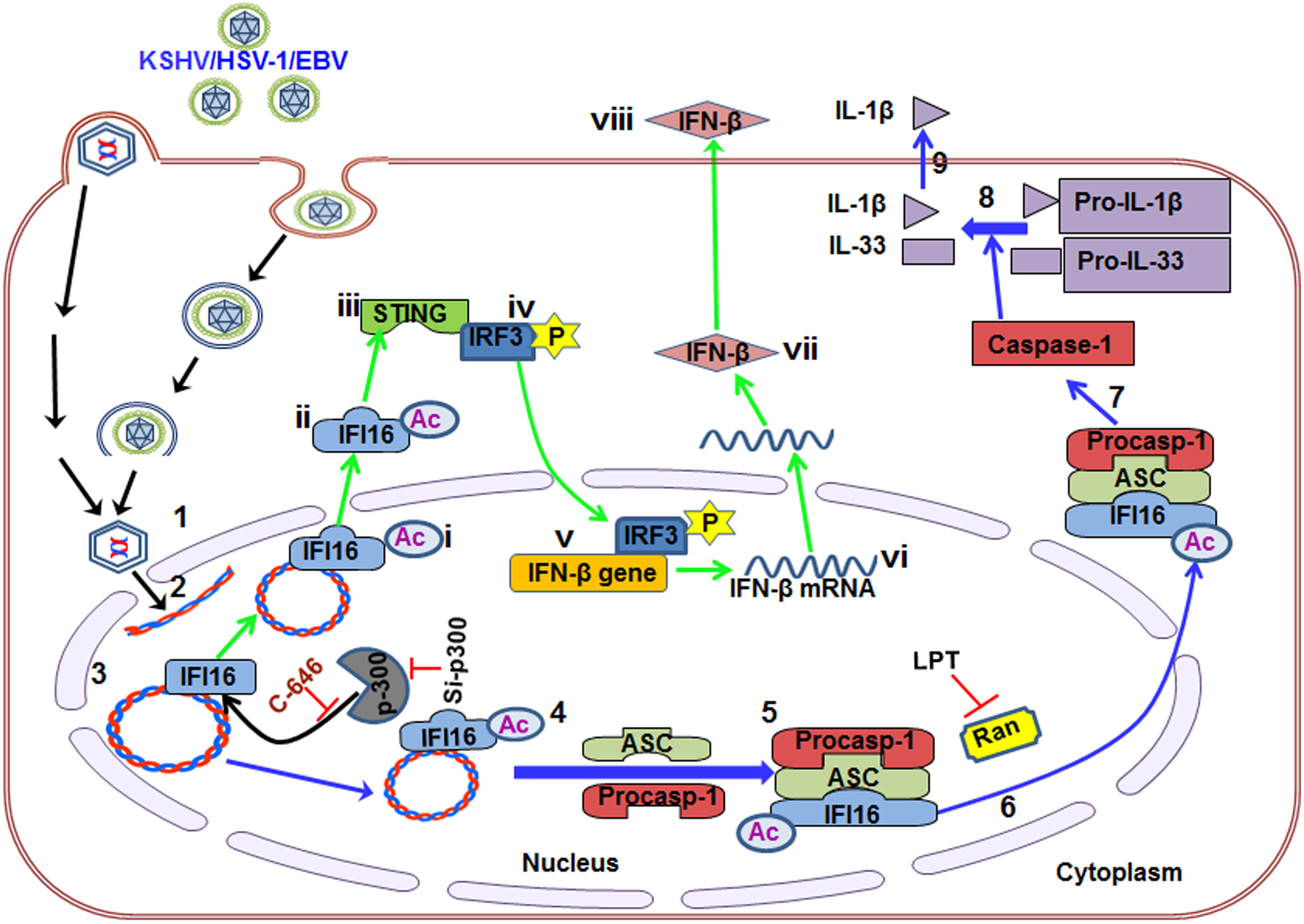 Schematic model depicting herpesvirus infection induced IFI16 acetylation and its role in inflammasome and IFN-β production.