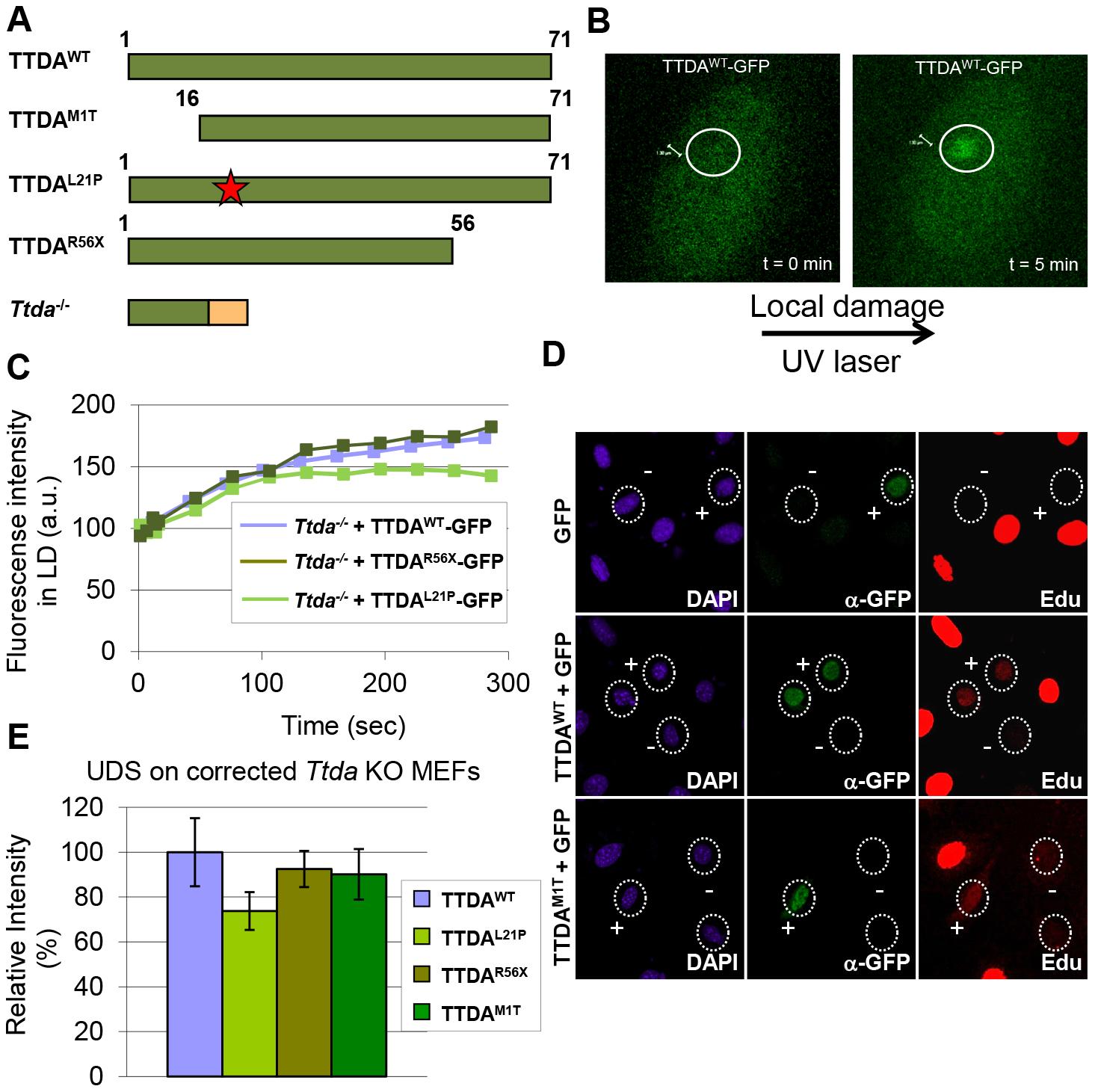 Mutant TTDA protein accumulation at local UV damage.