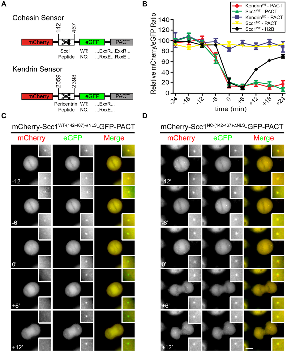 Construction of separase sensor constructs for centrosomes.
