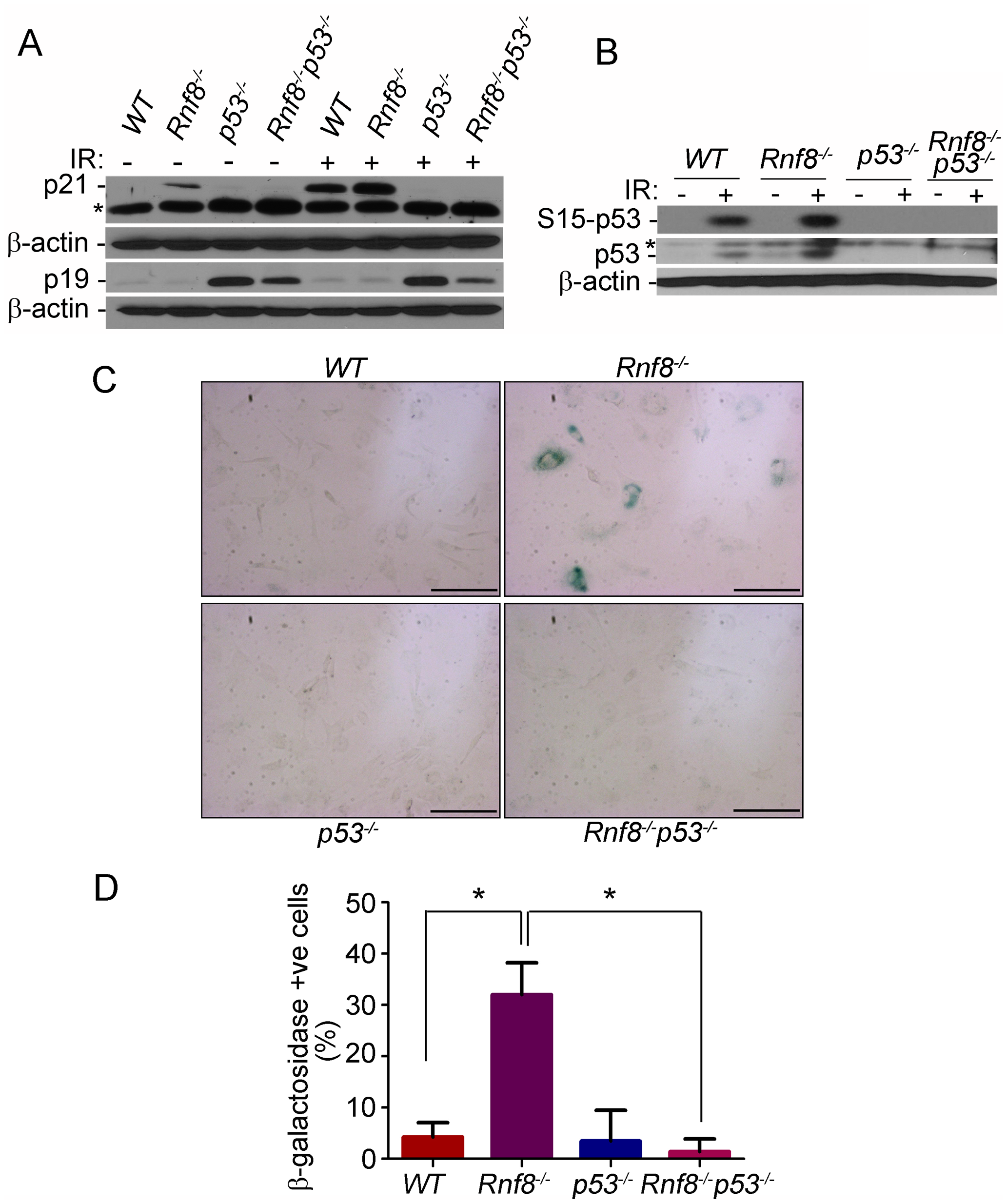 p53 deficiency rescues the senescence of <i>Rnf8<sup>−/−</sup></i> MEFs.