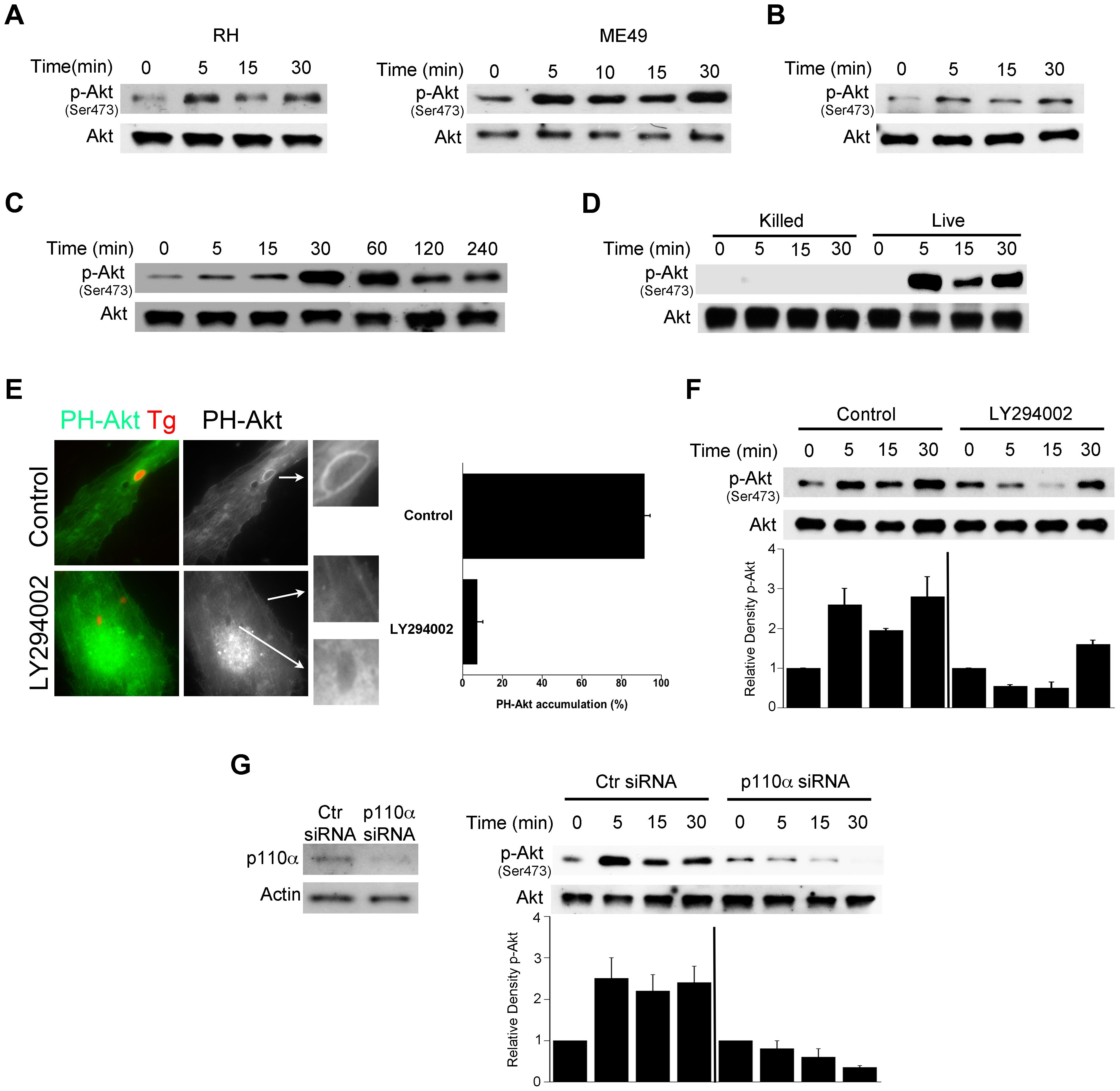 <i>T. gondii</i> induces Akt activation via PI3K signaling in non-hematopoietic cells.