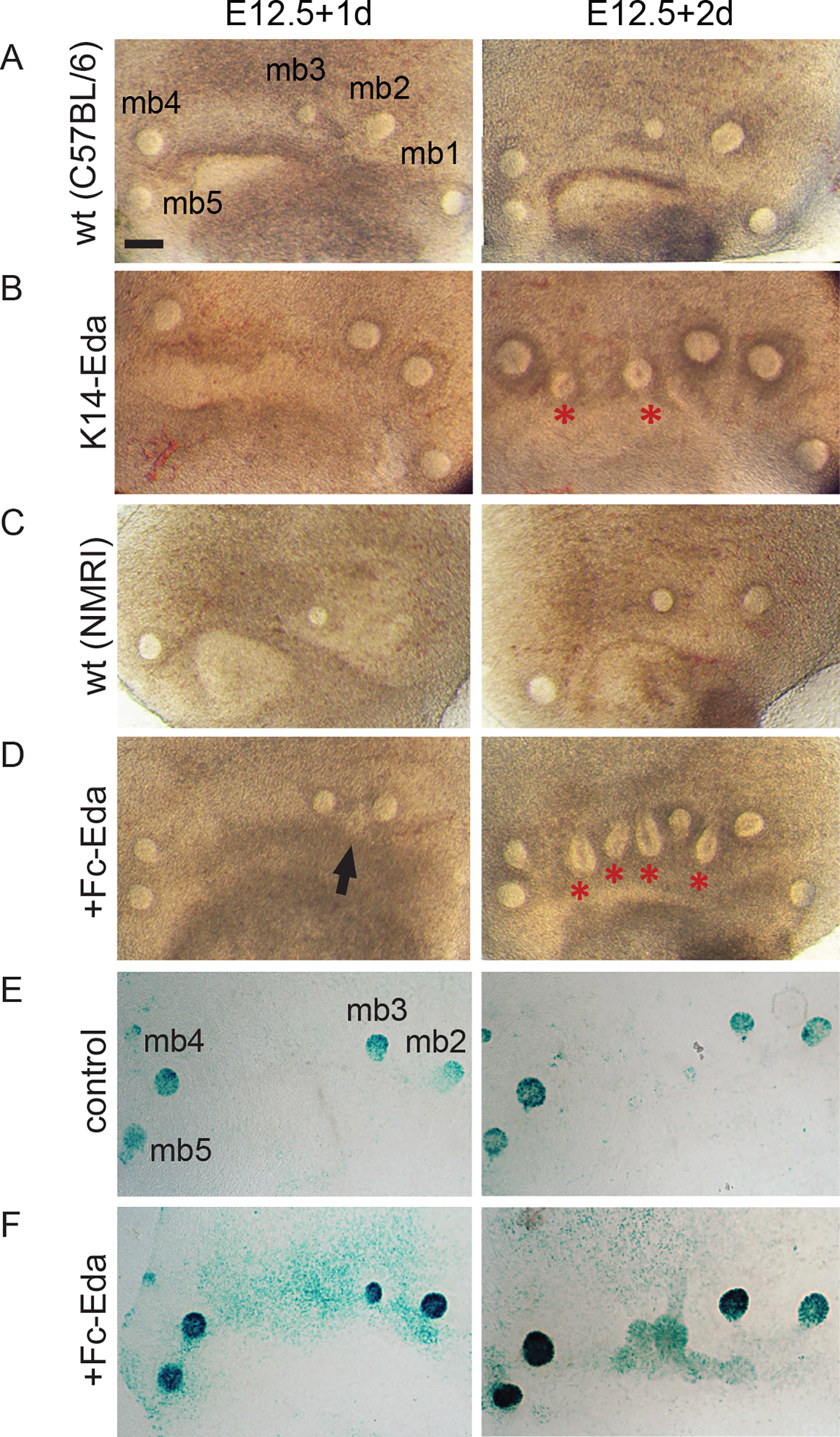 Recombinant Eda protein induces supernumerary mammary placodes and upregulates NF-κB reporter expression ex vivo.