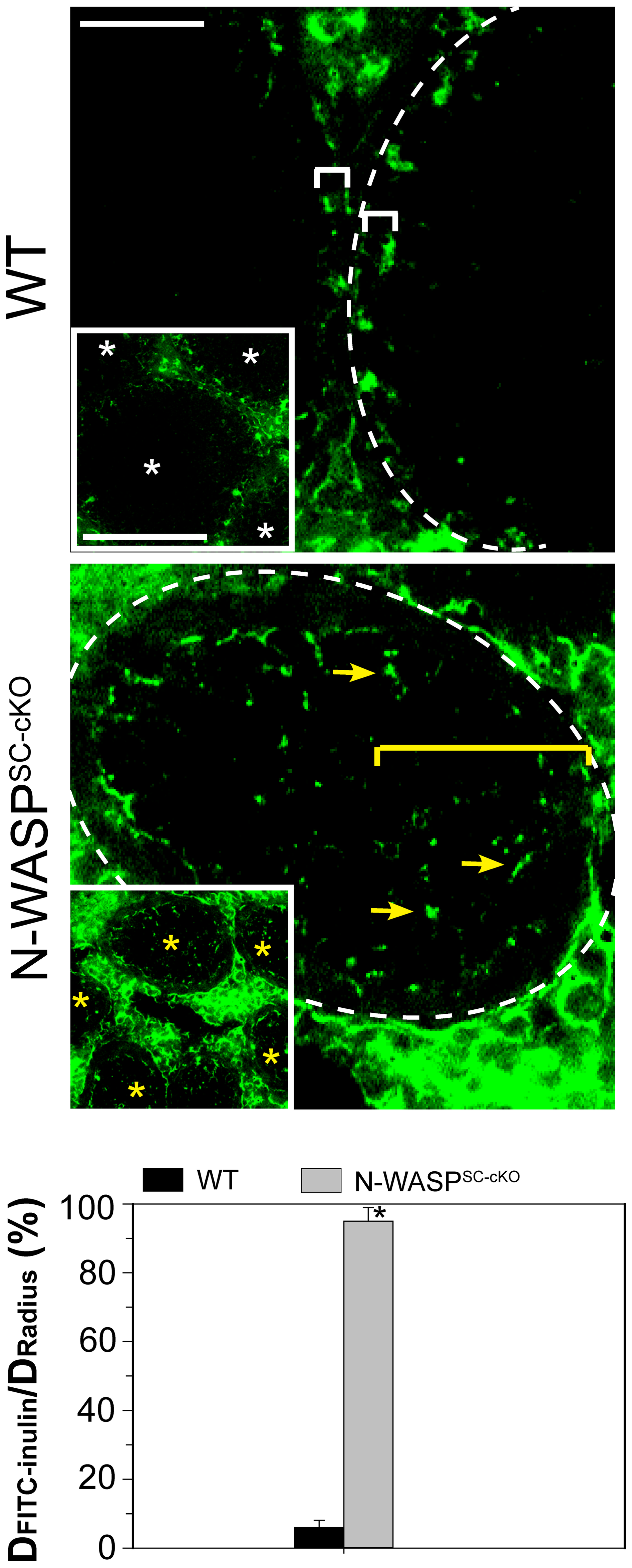 BTB integrity is compromised in testes of N-WASP<sup>SC-cKO</sup> mice.