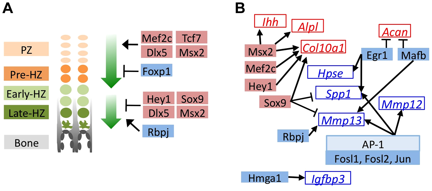 MEK1/2 inhibition or SHP2 depletion alters the expression of transcription factors with known roles in chondrocyte maturation.