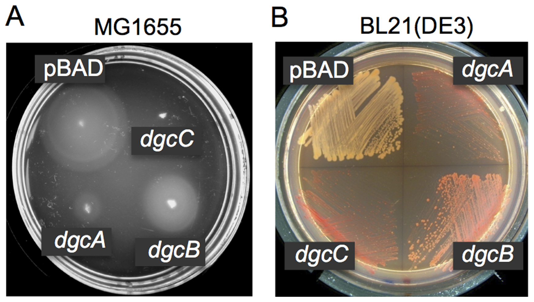 DGC activities of the <i>L. monocytogenes</i> proteins DgcA-C.