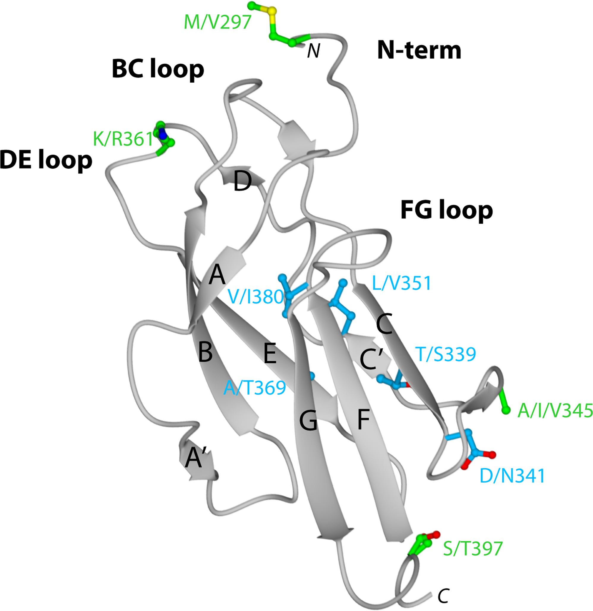Crystal structure of DENV-1 DIII (strain 16007) and analysis of genotypic variation.