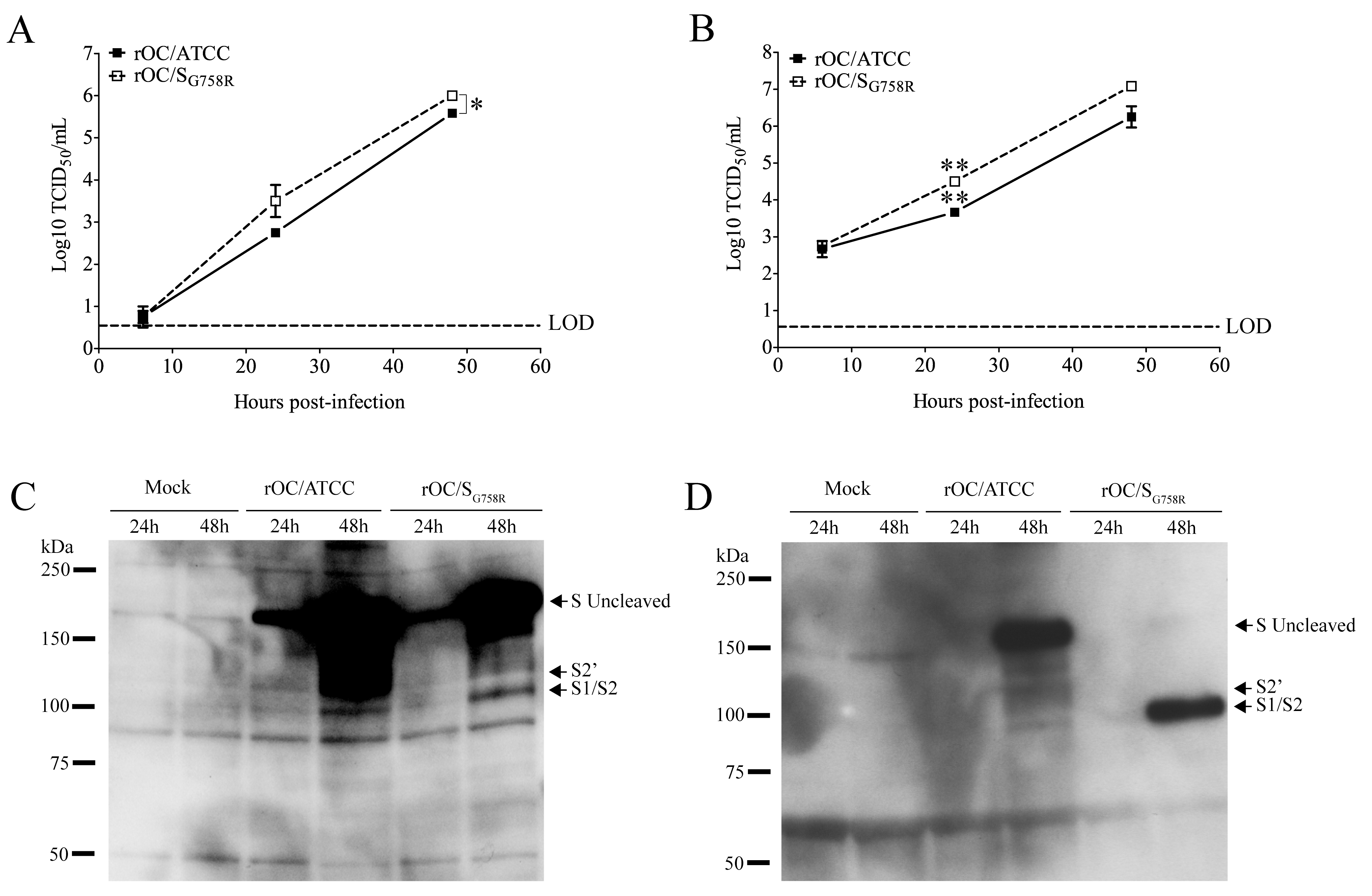 Cleavage of S glycoprotein is also observed in human LA-N-5 cells for mutant virus.